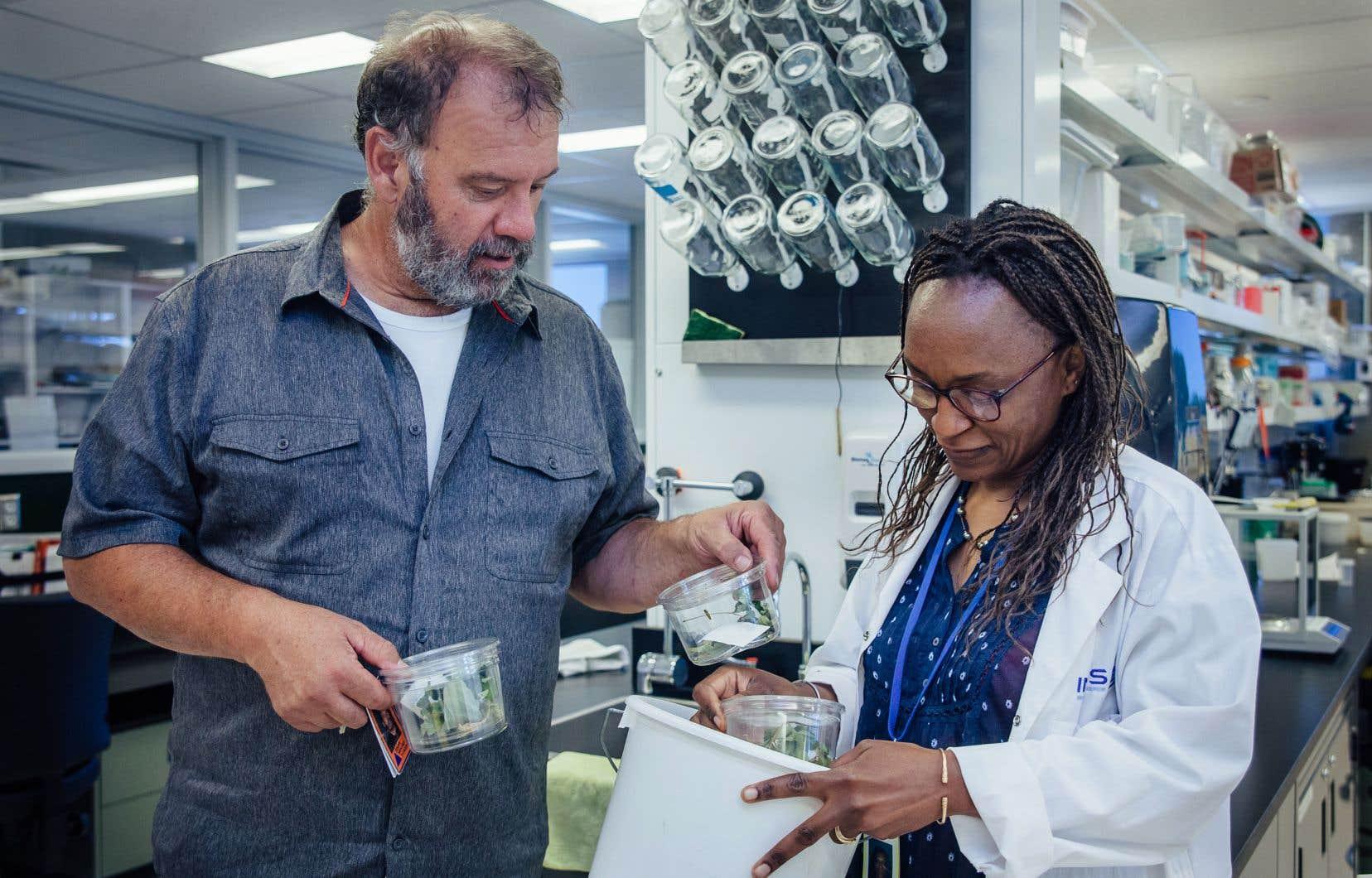 Dans un laboratoire de l'INRS–Institut Armand-Frappier à Laval, Claude Guertin remet des insectes à Judith Mogouong, une doctorante qui fait sa thèse sur l'agrile du frêne.