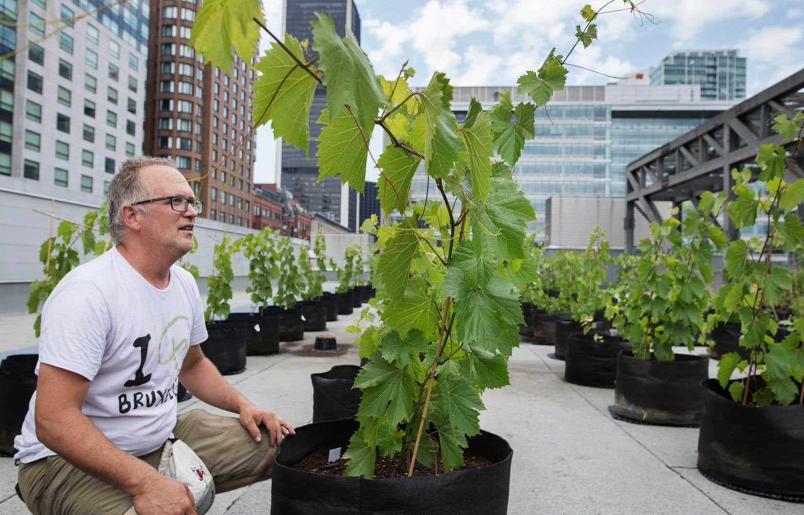 On mesure l'impact sur l'environnement des vignes par rapport aux autres types de toits verts, explique Éric Duchemin, directeur du Laboratoire sur l'agriculture urbaine.