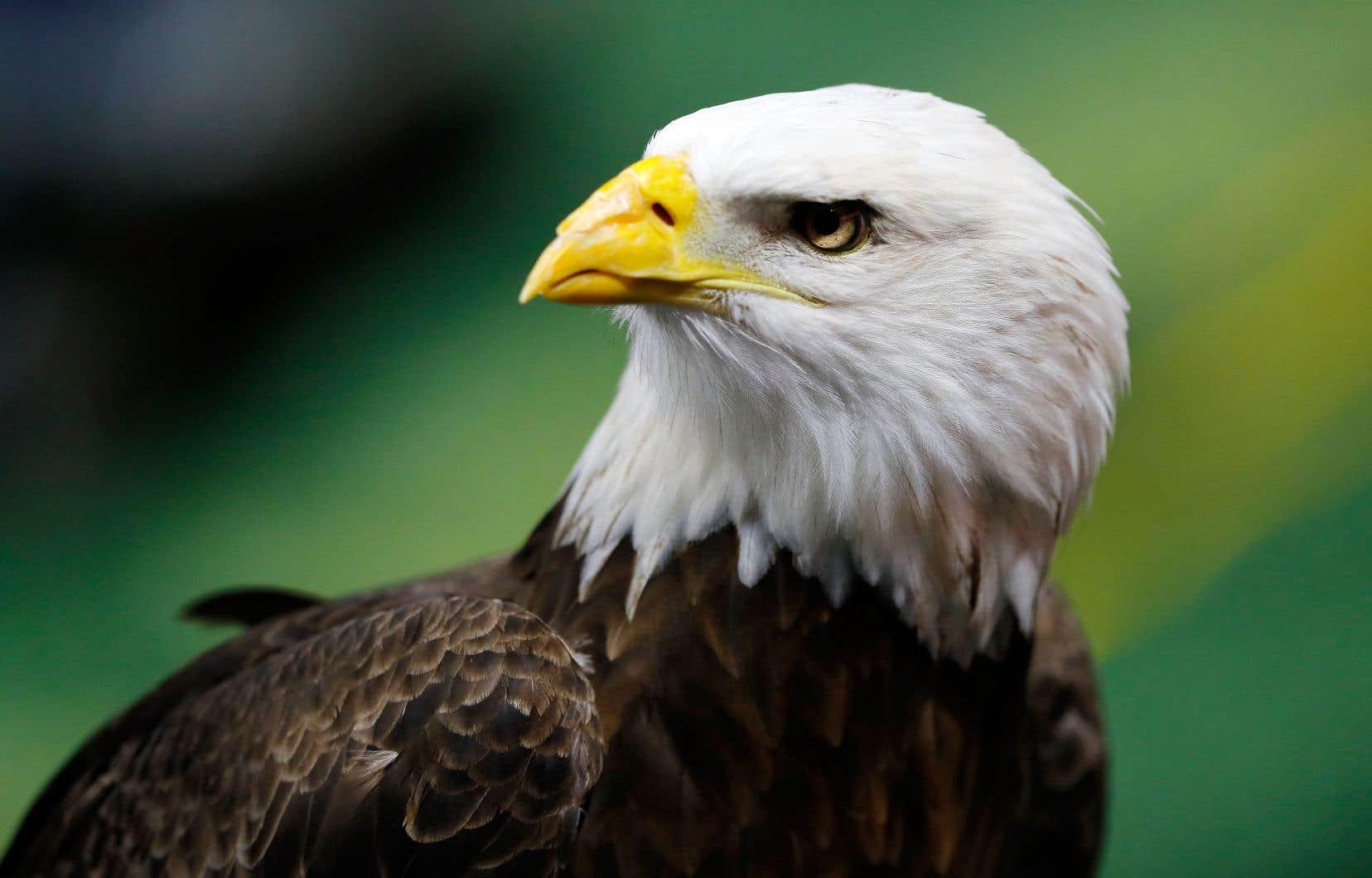 Emblème des États-Unis, le pygargue à tête blanche fait partie des espèces protégées par l'Endangered Species Act adopté il y a 45 ans.