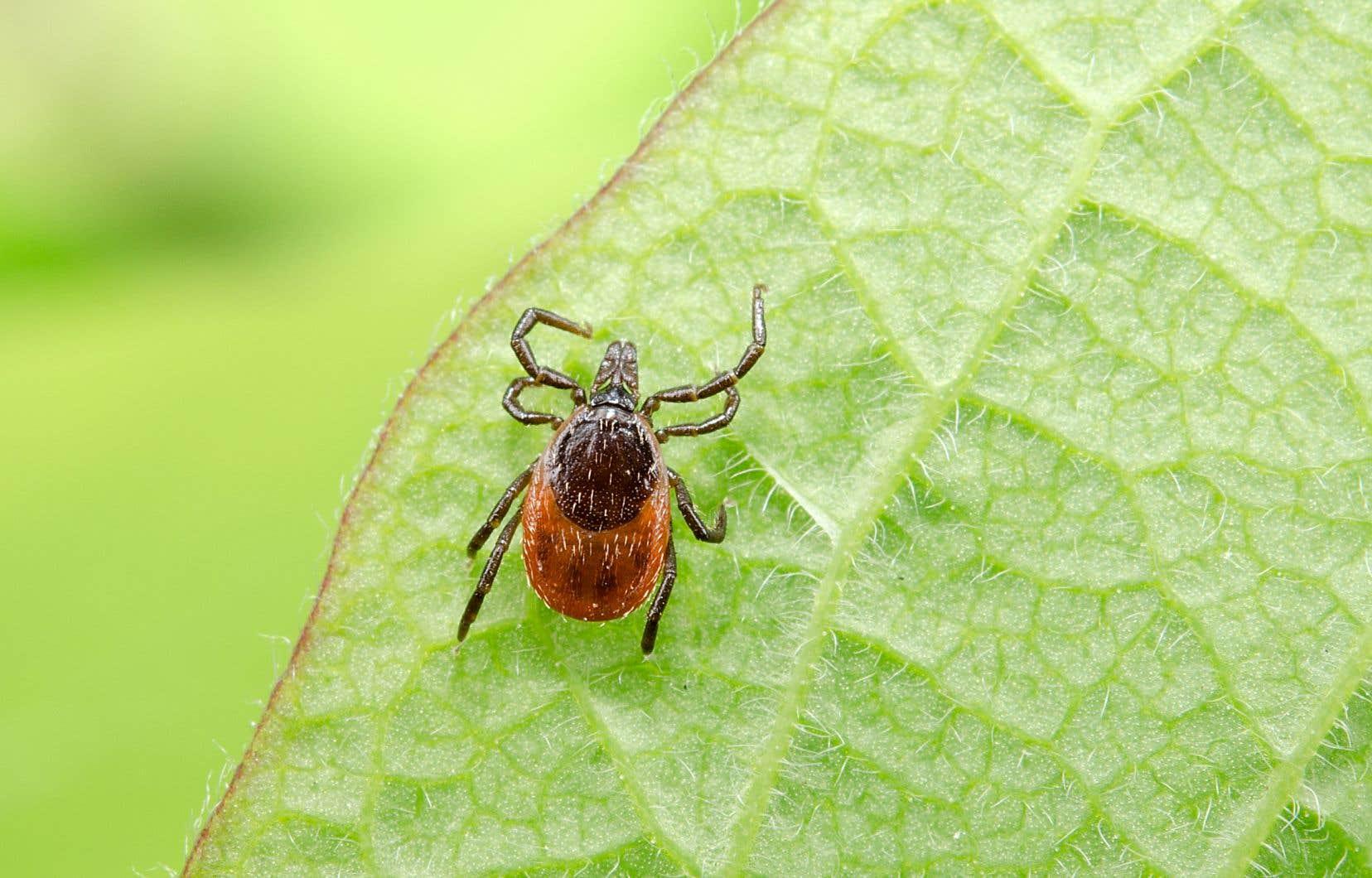 Le risque de contracter la maladie de Lyme augmente si l'insecte reste accroché à la peau pendant plus d'une journée.