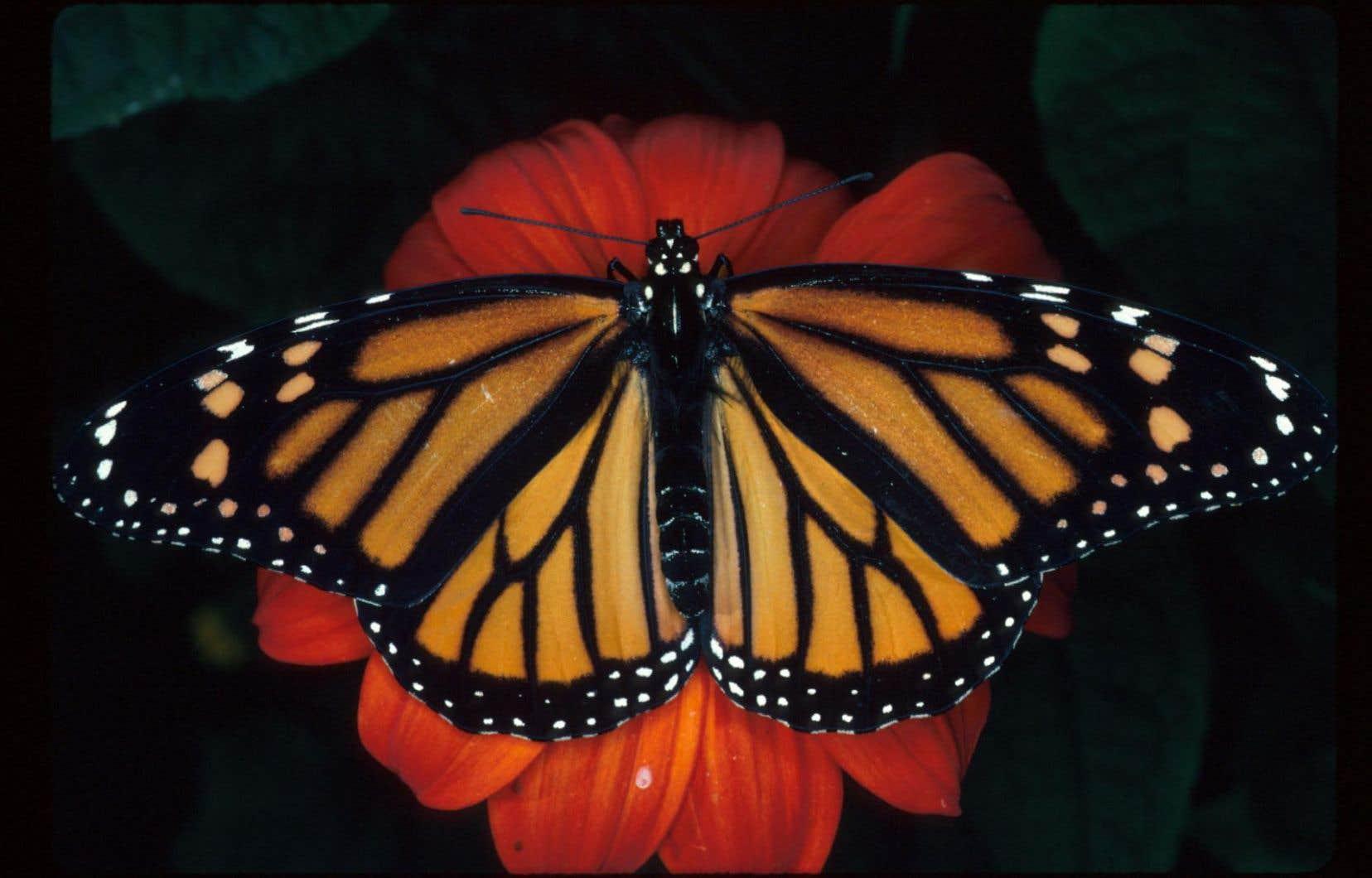 La population de ce papillon emblématique, autrefois abondant en Amérique du Nord, s'est effondrée de 90% au cours des 20 dernières années.