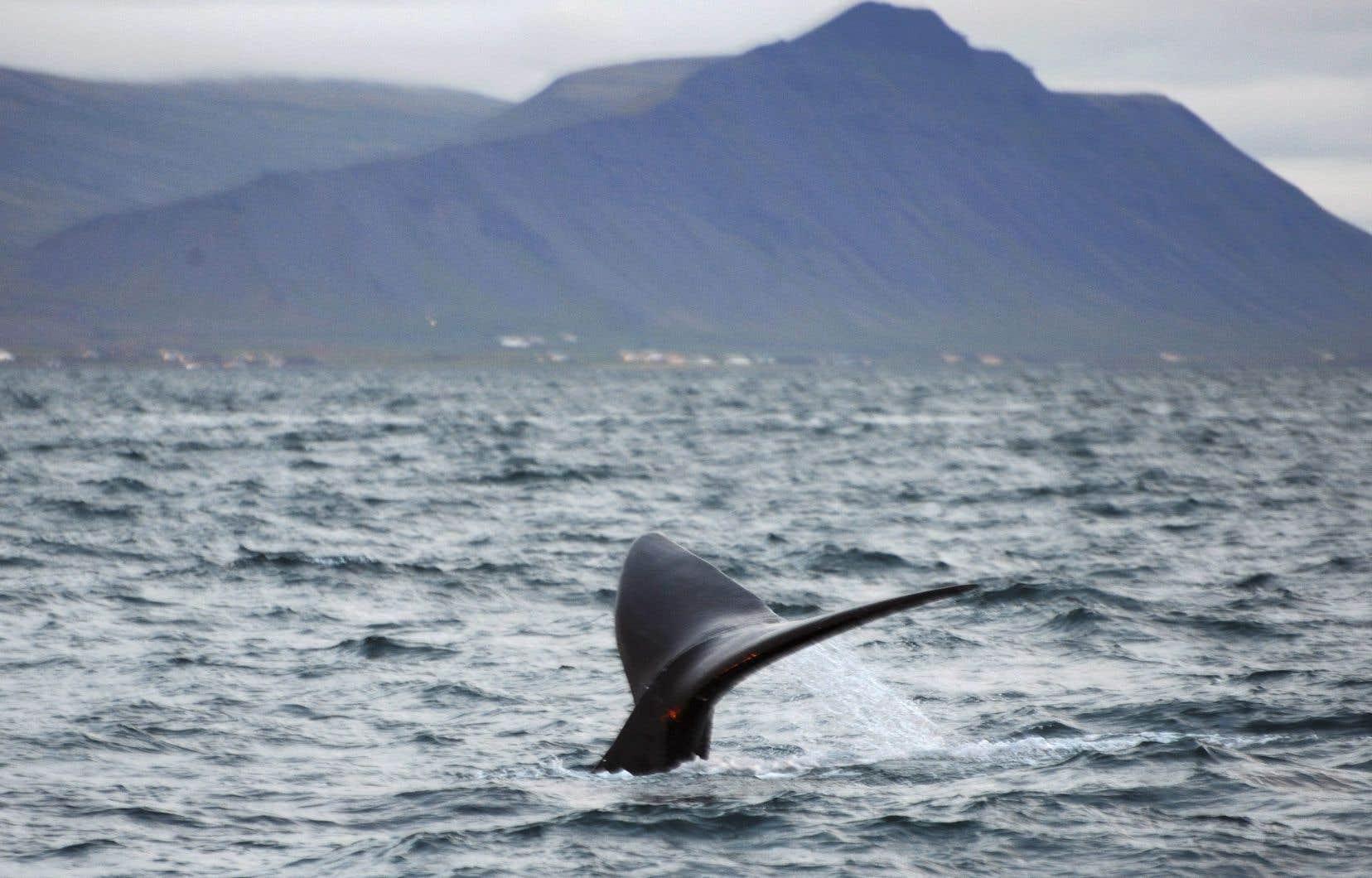 Une baleine noire surnommée Mogul plonge au large de la côte nord-ouest de Reykjavik, en Islande