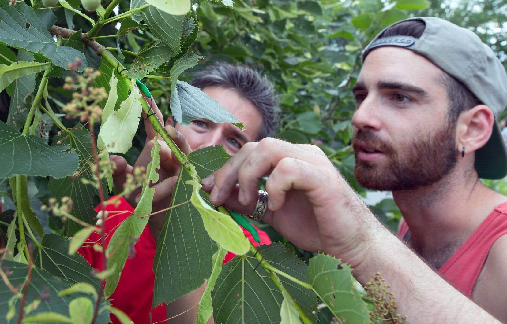 Sous le regard du chercheur Bastien Castagneyrol, le stagiaire Charles Des Roches installe une chenille en pâte à modeler pour mesurer l'activité de prédateurs dans un parc de Montréal.