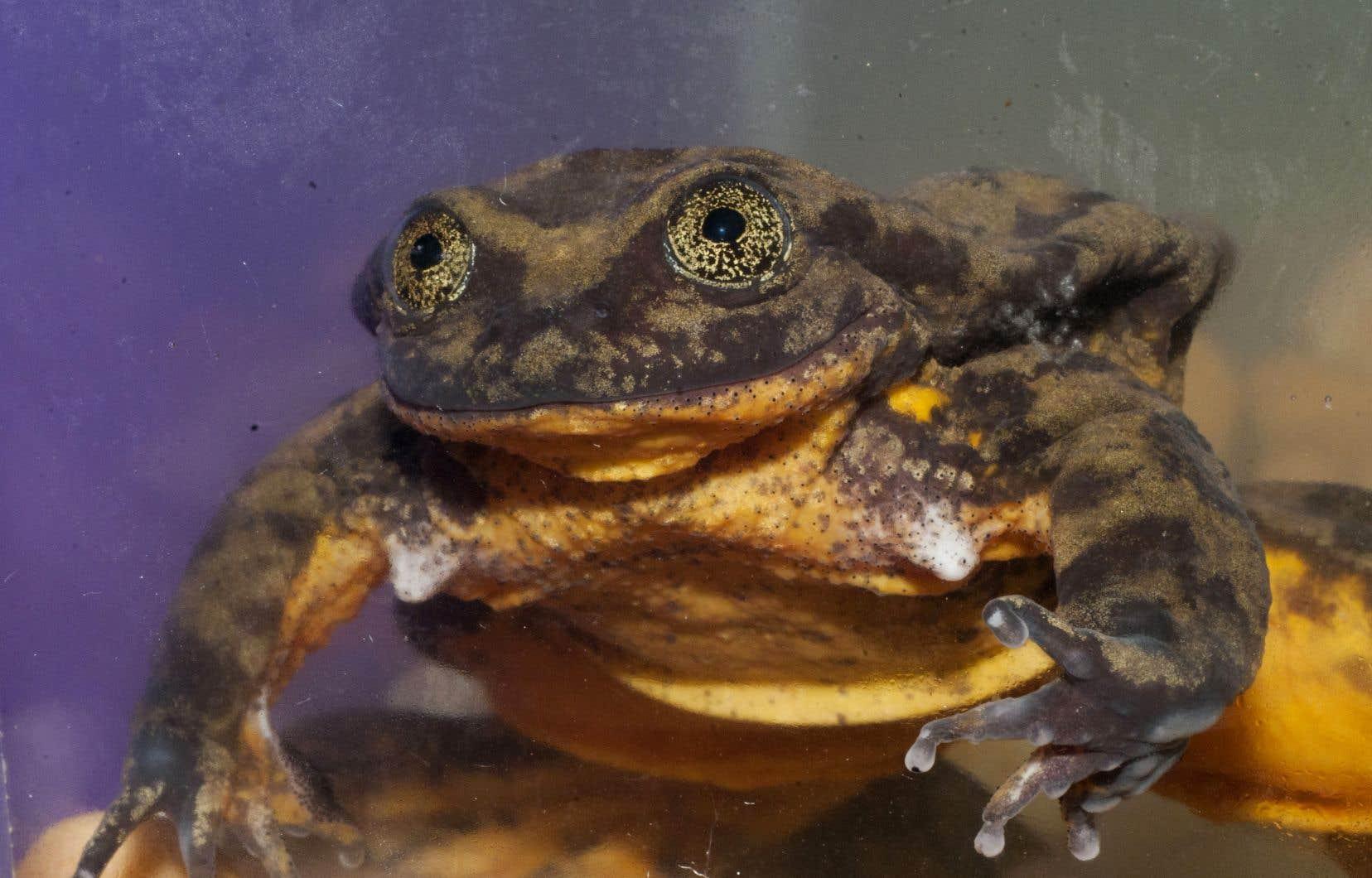 Cette grenouille aquatique de Sehuencas est la dernière connue de son espèce.