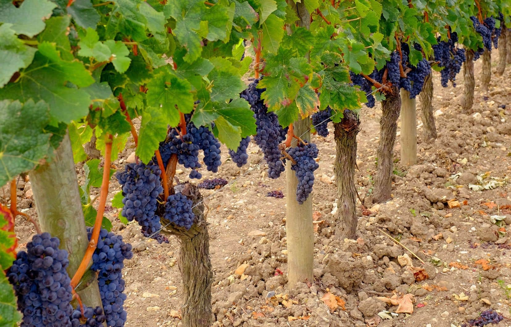 Une taille appropriée assure une juste sortie de fruits. Ici, à Petrus, du côté de Pomerol.