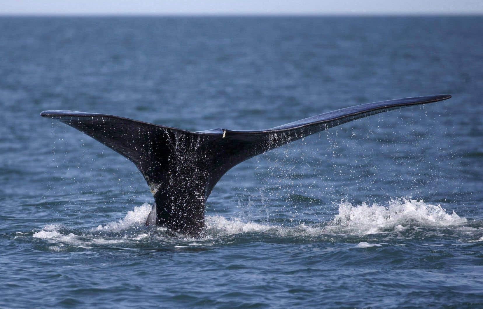 Une baleine noire de l'Atlantique Nord