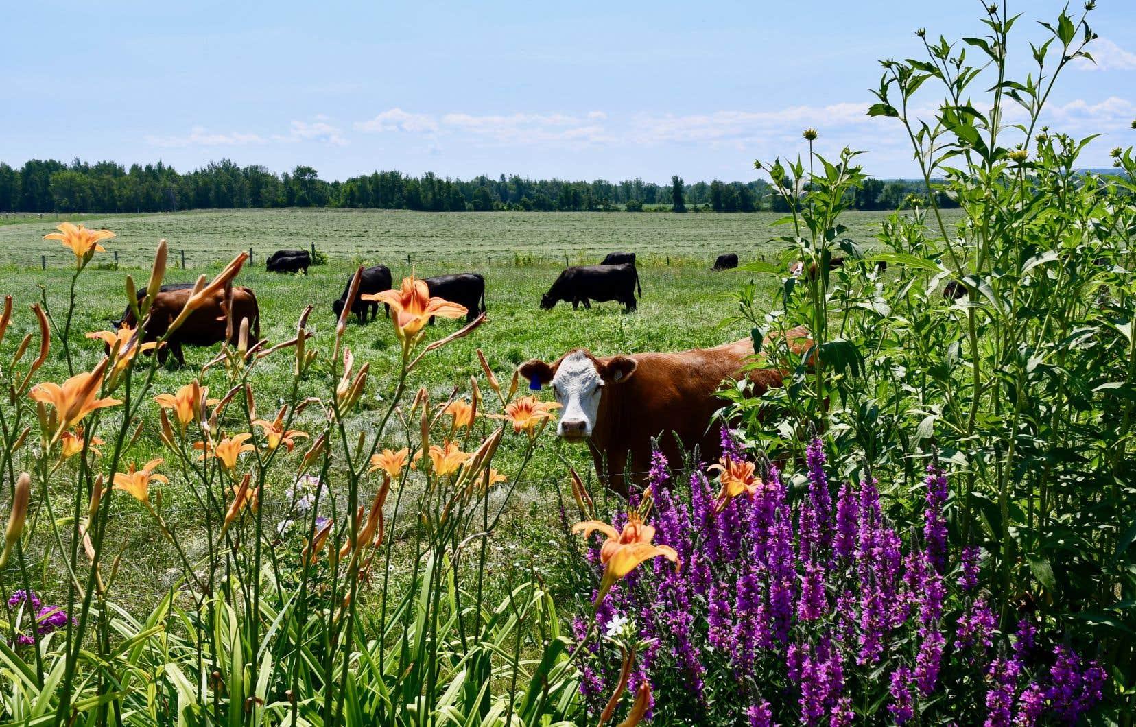 Les omnivores seront rassurés en observant ici les veaux, les vaches et les bœufs évoluer en toute quiétude dans un décor exceptionnel, avec un accès à l'extérieur en tout temps.