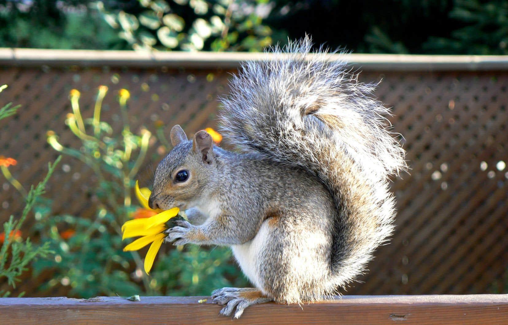 Doit On Deterrer Les Oignons De Tulipes les écureuils vous rendent dingues! | le devoir