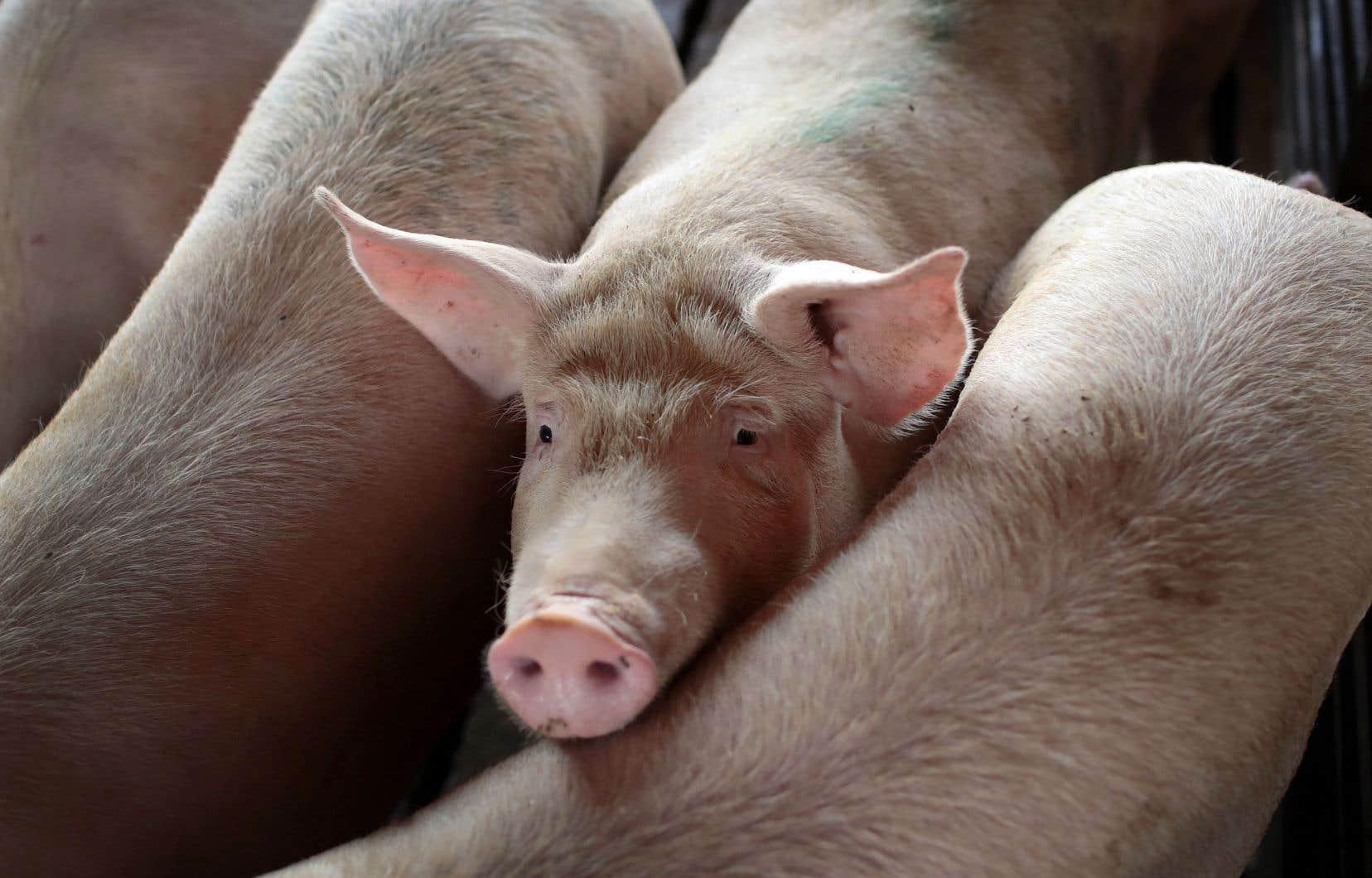 Le prix courant pour le porc est établi aux États-Unis et appliqué partout sur le continent.