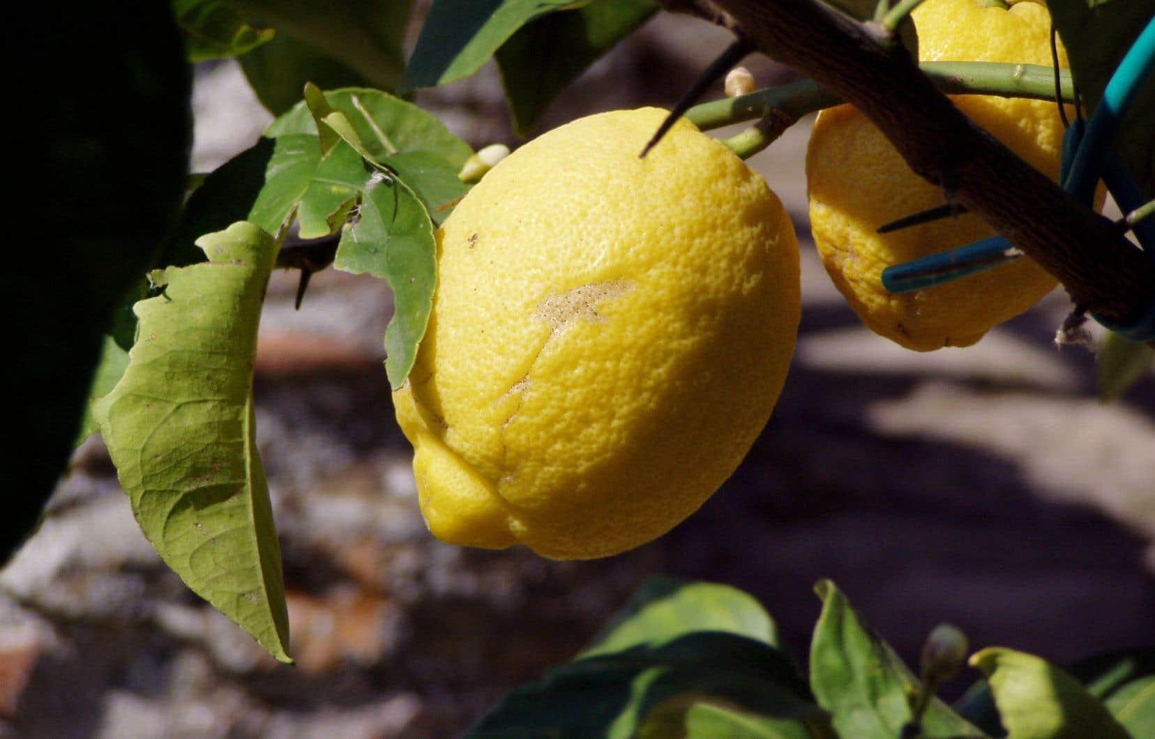 Le citron Meyer est reconnu en cuisine pour son goût moins acide et plus aromatique que les autres citrons.
