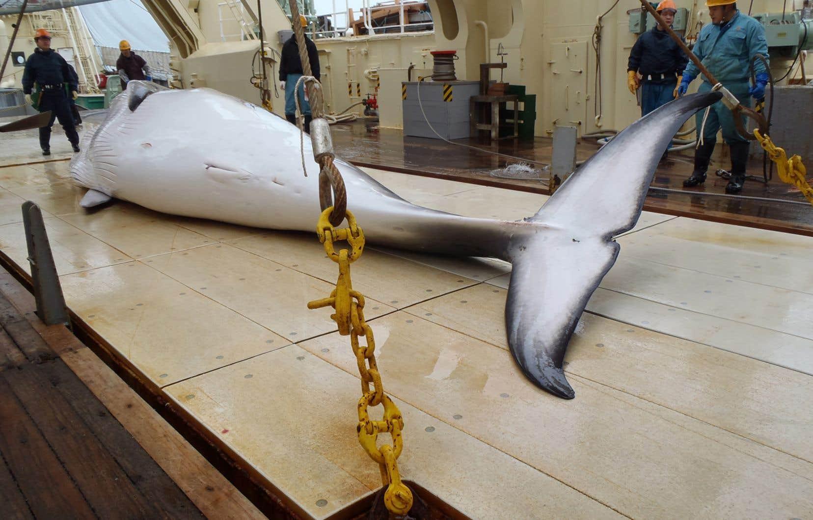 Le Japon pratique une chasse dite «scientifique» en Antarctique depuis 1987. Il ainsi abattu plus de 10 000 petits rorquals en 30 ans.