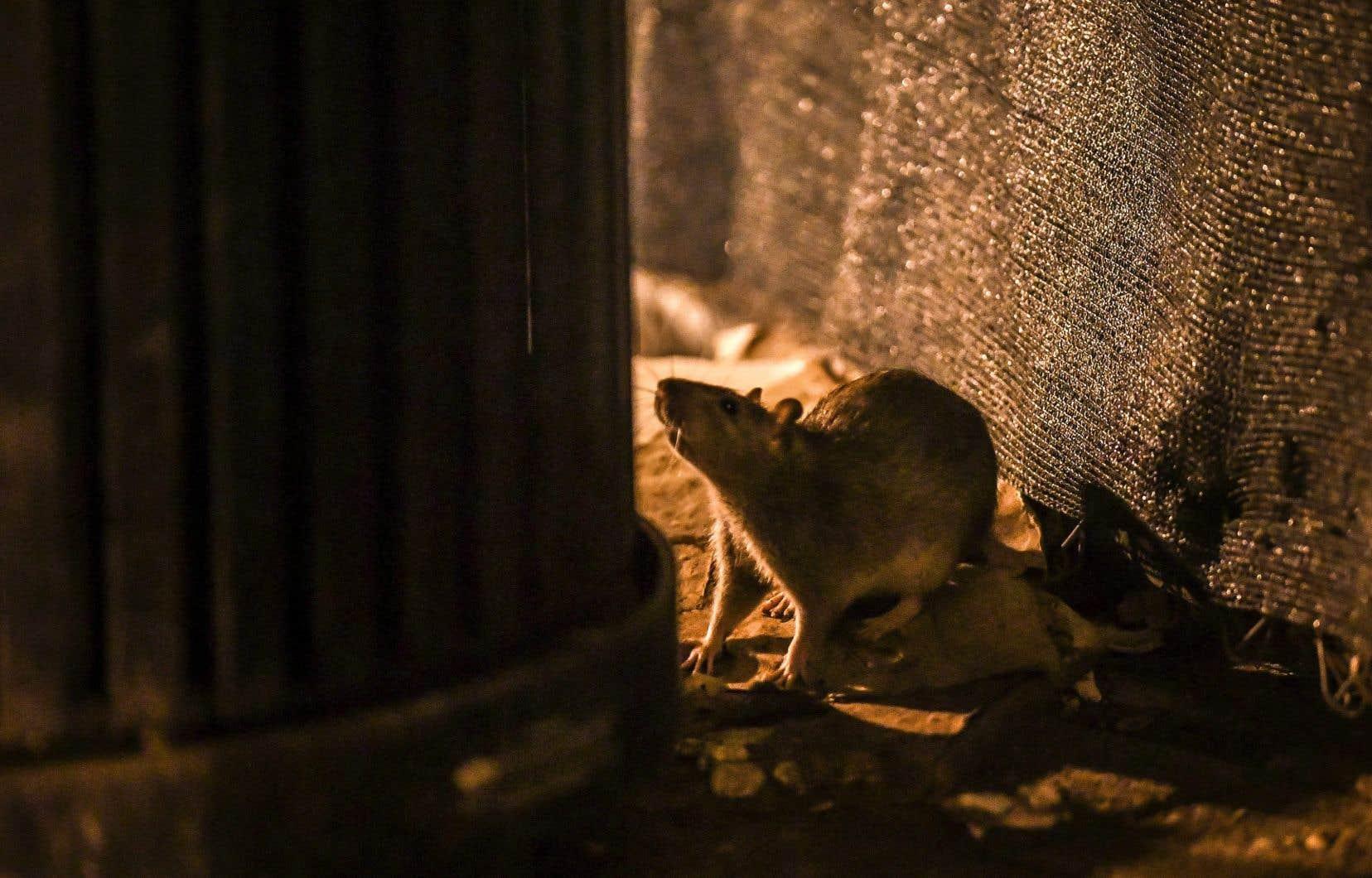 <p>Selon les données fournies à l'opposition par des entreprises de gestion parasitaire, Montréal compterait entre 5 et 6millions de rats qui, pour la plupart, vivraient dans les égouts.</p>