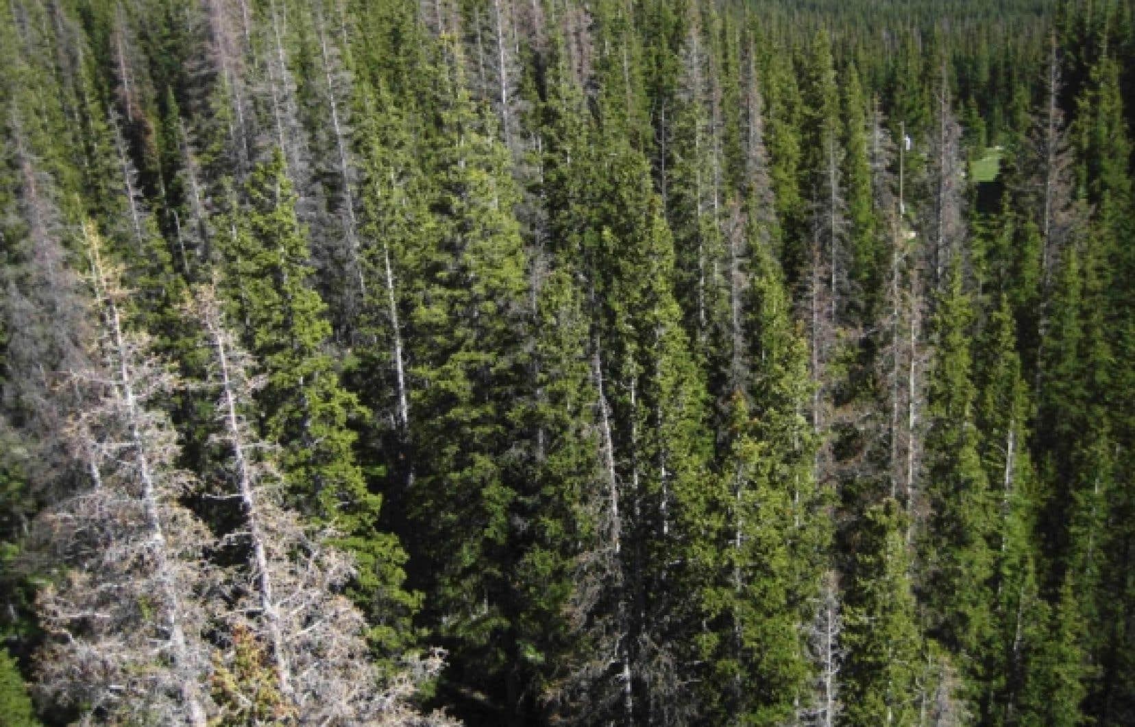 Selon l'entente conclue par l'Association des produits forestiers du Canada, si les compagnies agissent bien pendant trois ans dans leurs forêts du sud, Greenpeace et associés leur conféreront une sorte de bénédiction «certificatrice» et cesseront leurs protestations internationales.