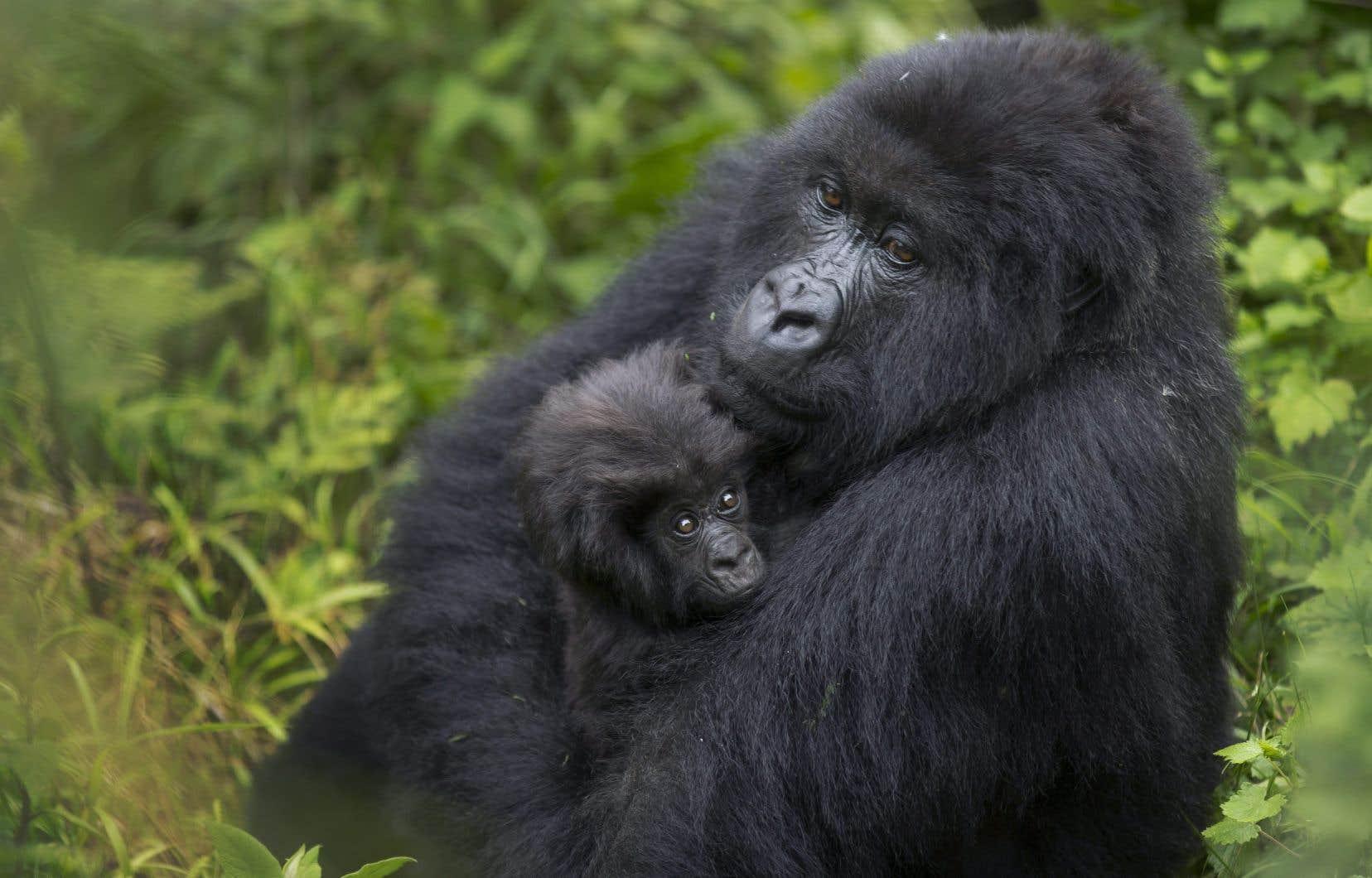 Cette mise à jour de la Liste Rouge apporte également un espoir aux gorilles des montagnes, dont le statut de conservation est passé de «en danger critique» à «en danger» grâce notamment aux patrouilles antibraconnage.