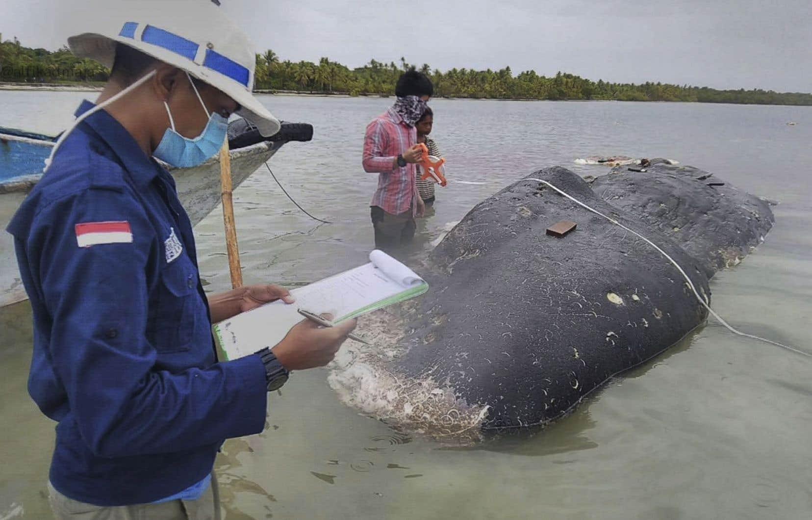 Des employés du parc national de Wakatobi ont repéré la carcasse du grand cachalot de 9,5 m lundi soir près du parc, dans la province de Sulawesi.
