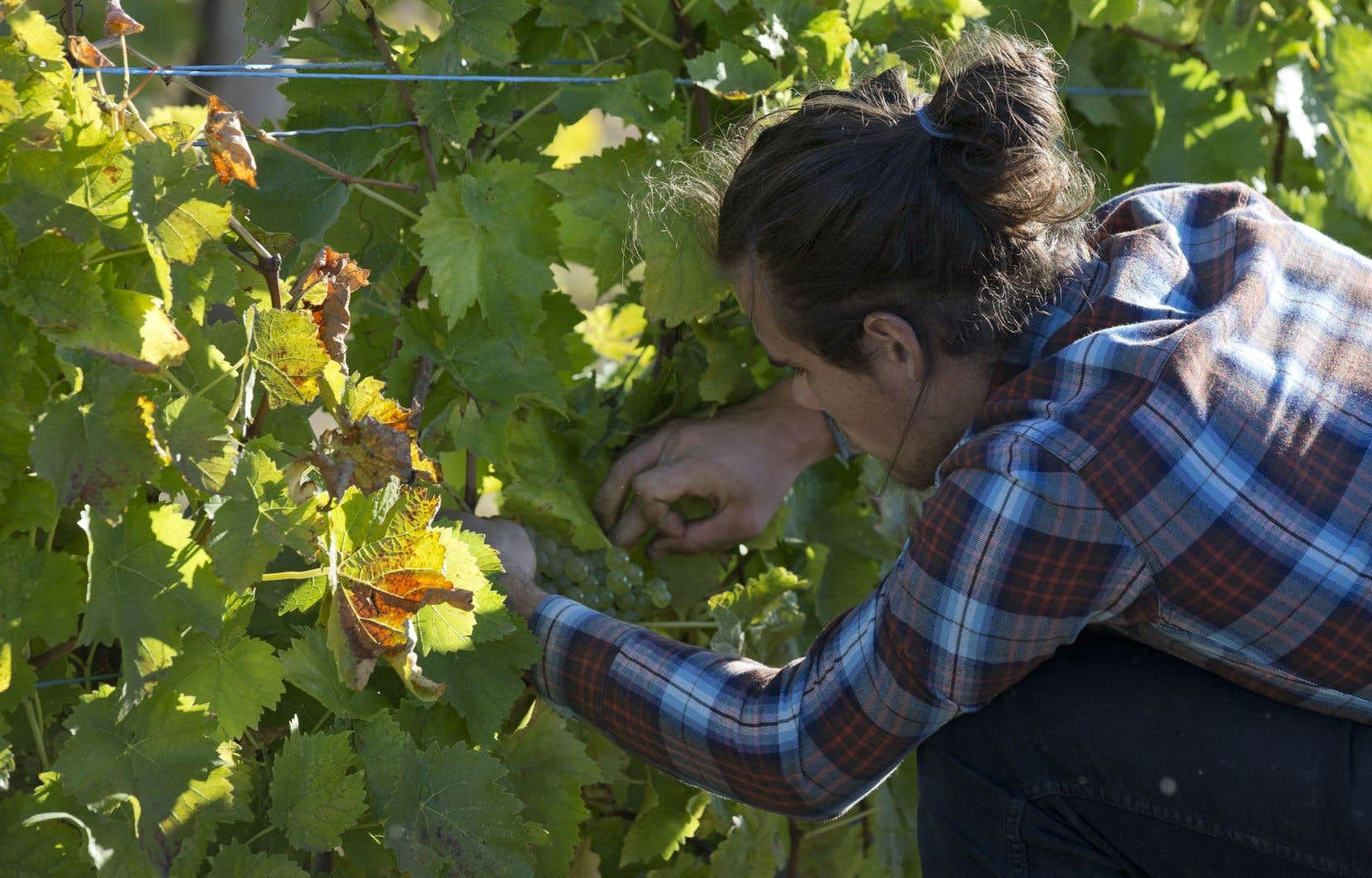 L'indication géographique protégée «Vin du Québec» a été reconnue le 16novembre dernier par le ministre de l'Agriculture, des Pêcheries et de l'Alimentation, André Lamontagne.