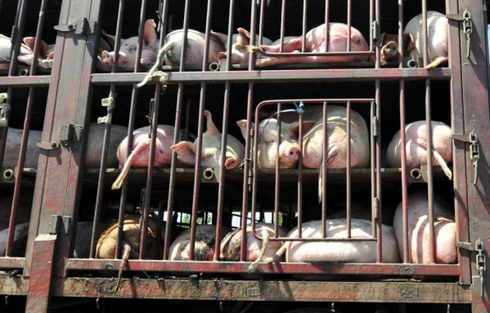 Entassés sur de trop longues distances ou par de trop grands froids, de deux à trois millions d'animaux d'élevage arrivent morts à l'abattoir au Canada, selon la World Society for Protection of Animals.