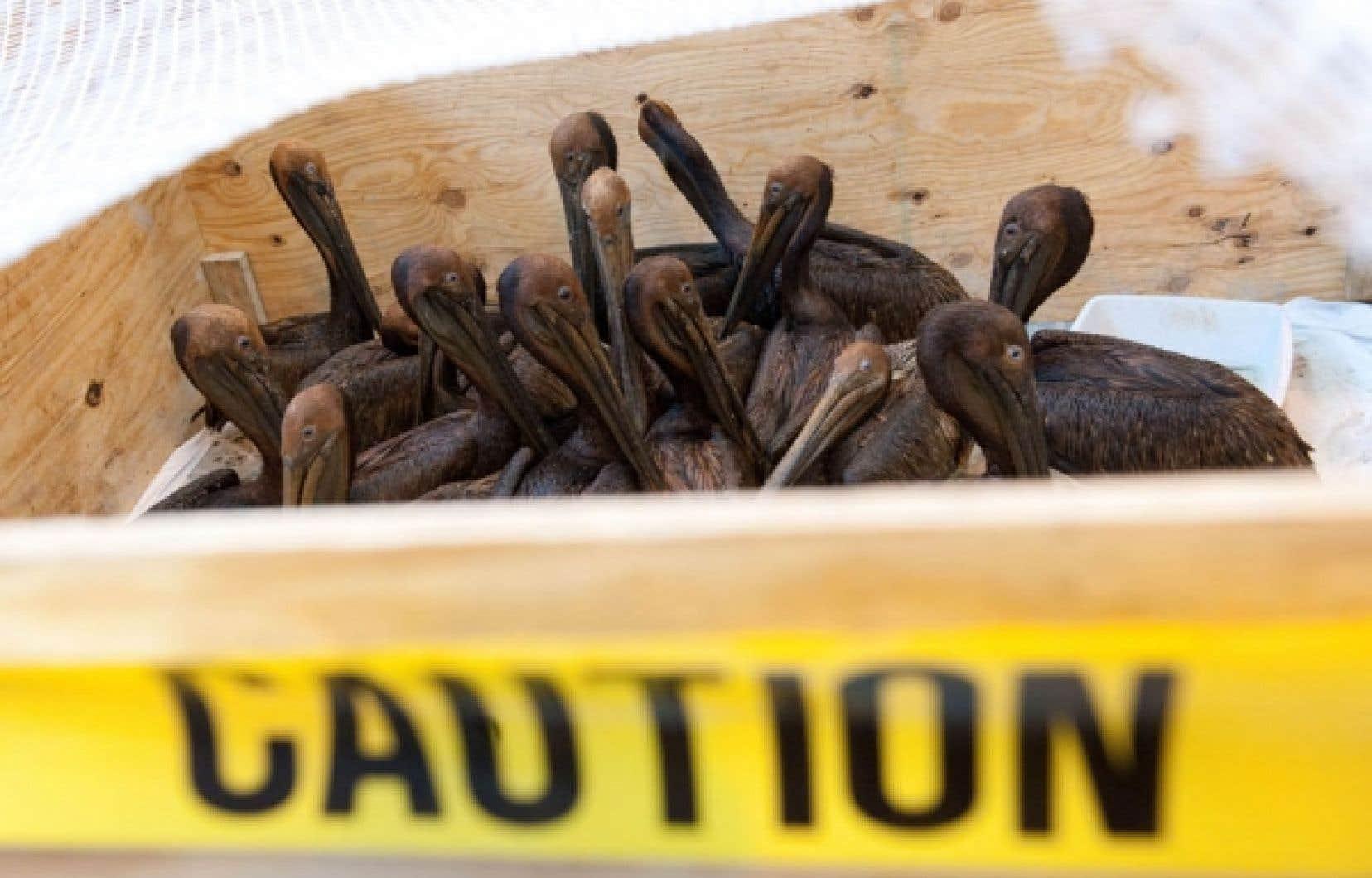 La colère de l'opinion américaine croît, 55 jours après l'explosion et le naufrage de la plate-forme de forage Deepwater Horizon, nourrie par des images de plages polluées, de pêcheurs inquiets ou encore d'oiseaux englués dans le pétrole, comme ces pélicans bruns, l'emblème de la Louisiane.