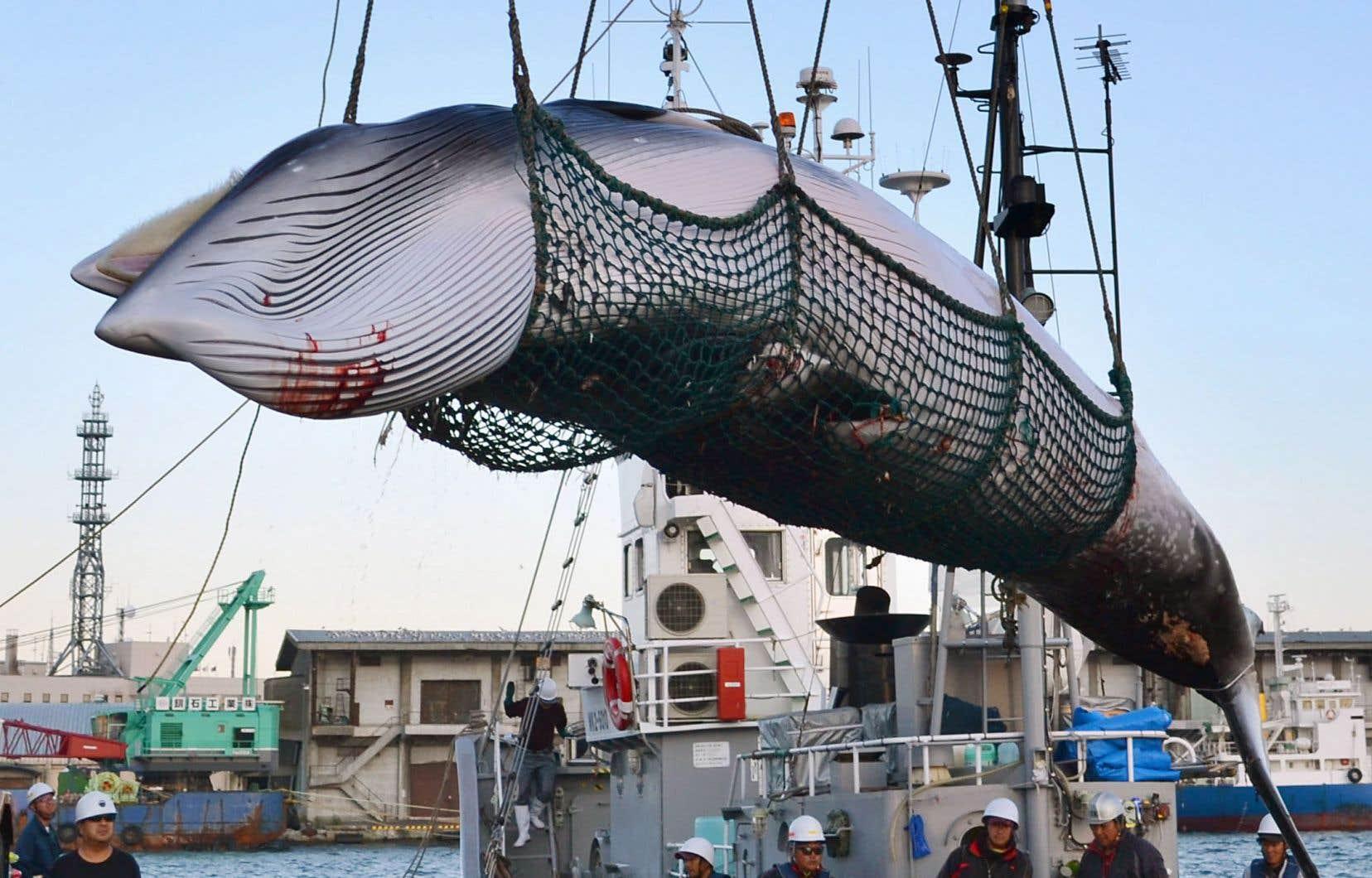 En réalité, le Japon n'a jamais vraiment arrêté la chasse à la baleine. Il n'a cessé de profiter d'une faille juridique du moratoire qui autorisait la chasse à des fins scientifiques.