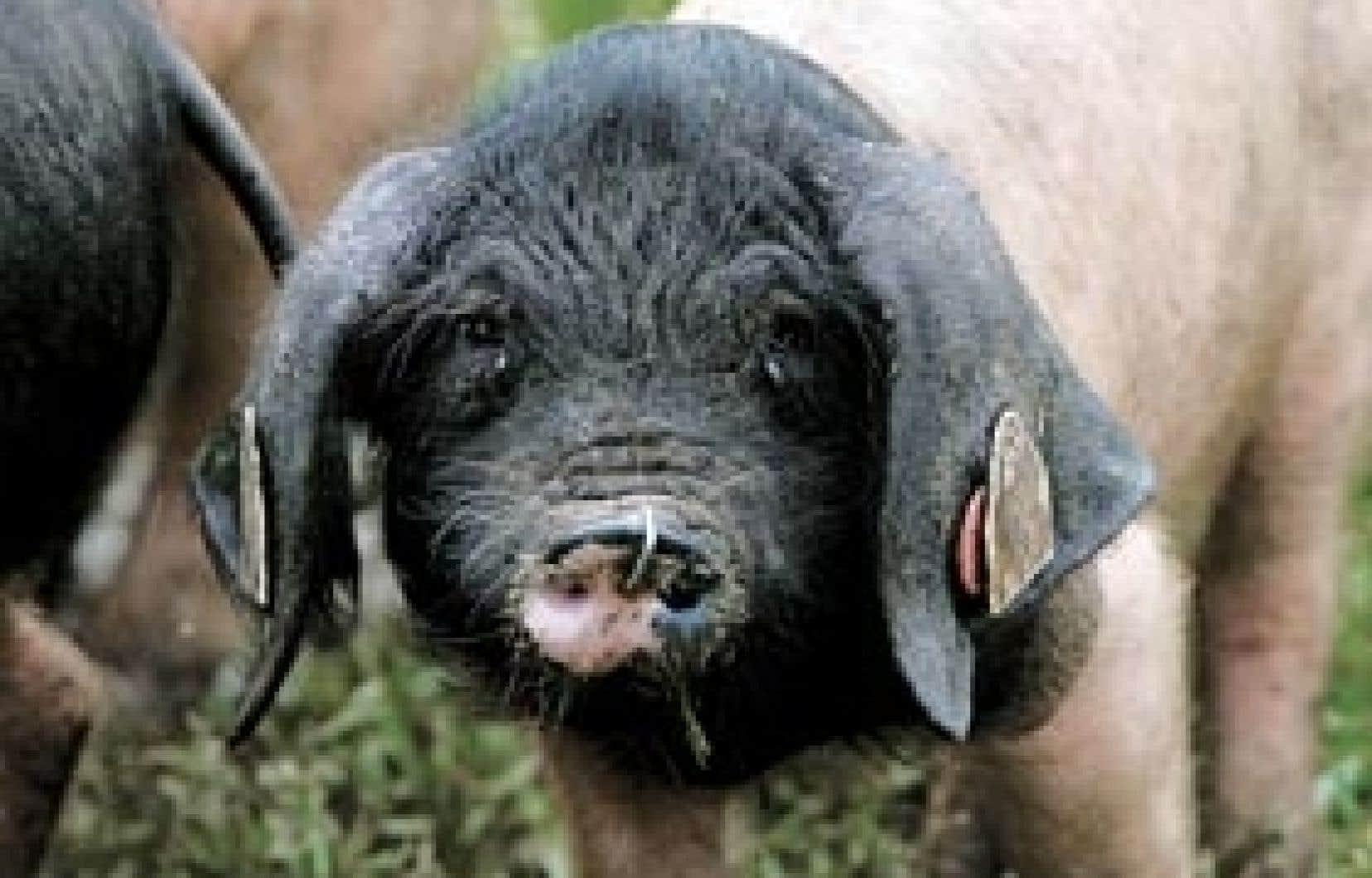 Un cochon pie noir du Sud-ouest de la France. Dans le cochon, tout est bon! Une maxime qui demeure vraie même si la consommation de charcuterie tend à décroître en Amérique du Nord.
