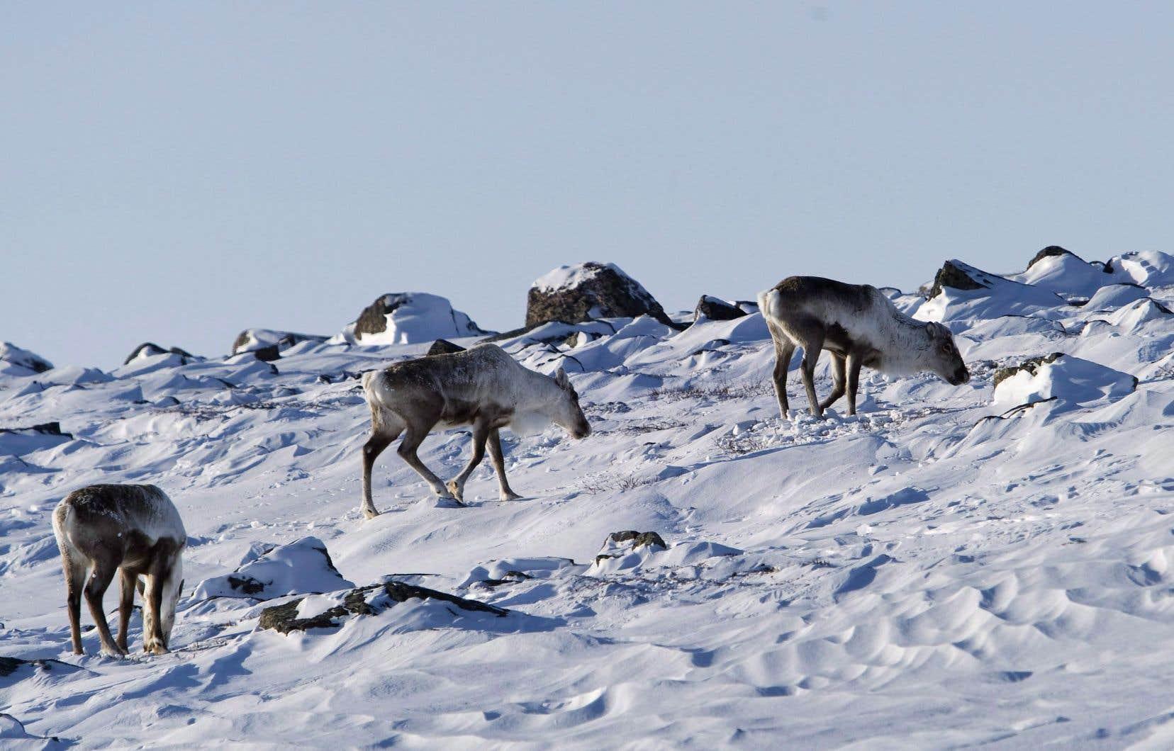 La harde de la Porcupine est l'une des rares populations de caribous en santé dans le Nord et une ressource cruciale pour les peuples autochtones.