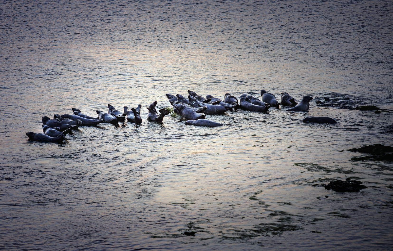 Les chasseurs madelinots réclament d'ailleurs depuis plusieurs années un accès à une importante colonie de pinnipèdes qui fréquente l'île Brion, une réserve écologique protégée.