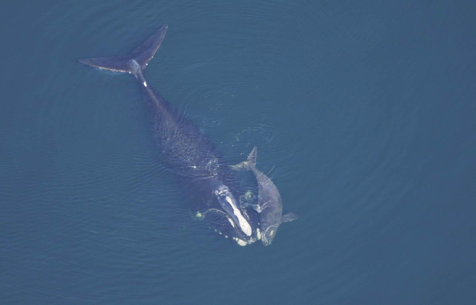 Il ne subsiste qu'une centaine de femelles baleines noires dans l'Atlantique Nord.