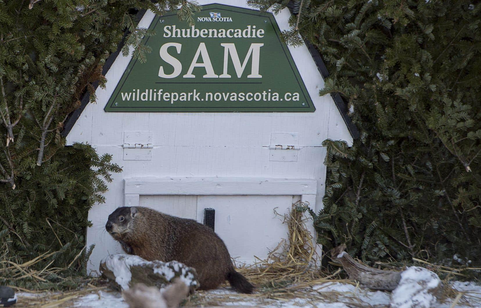 Shubenacadie Sam regarde autour de lui après avoir émergé de son terrier dans le parc animalier de Shubenacadie, en Nouvelle-Écosse.