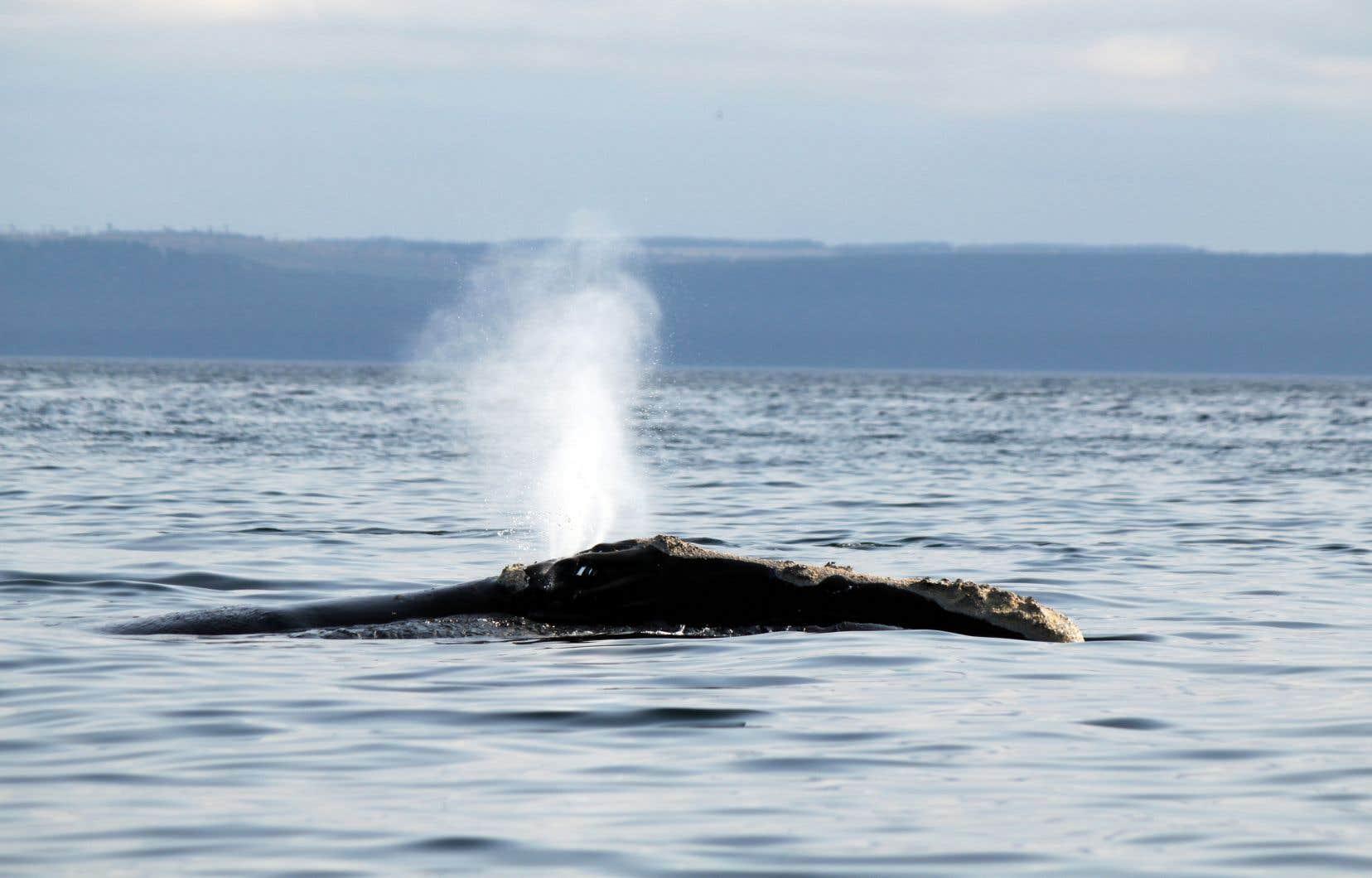 <p>Selon le plus récent bilan des chercheurs américains, la population se résumerait aujourd'hui à 410 baleines noires. Elles étaient près de 500 en 2010.</p>
