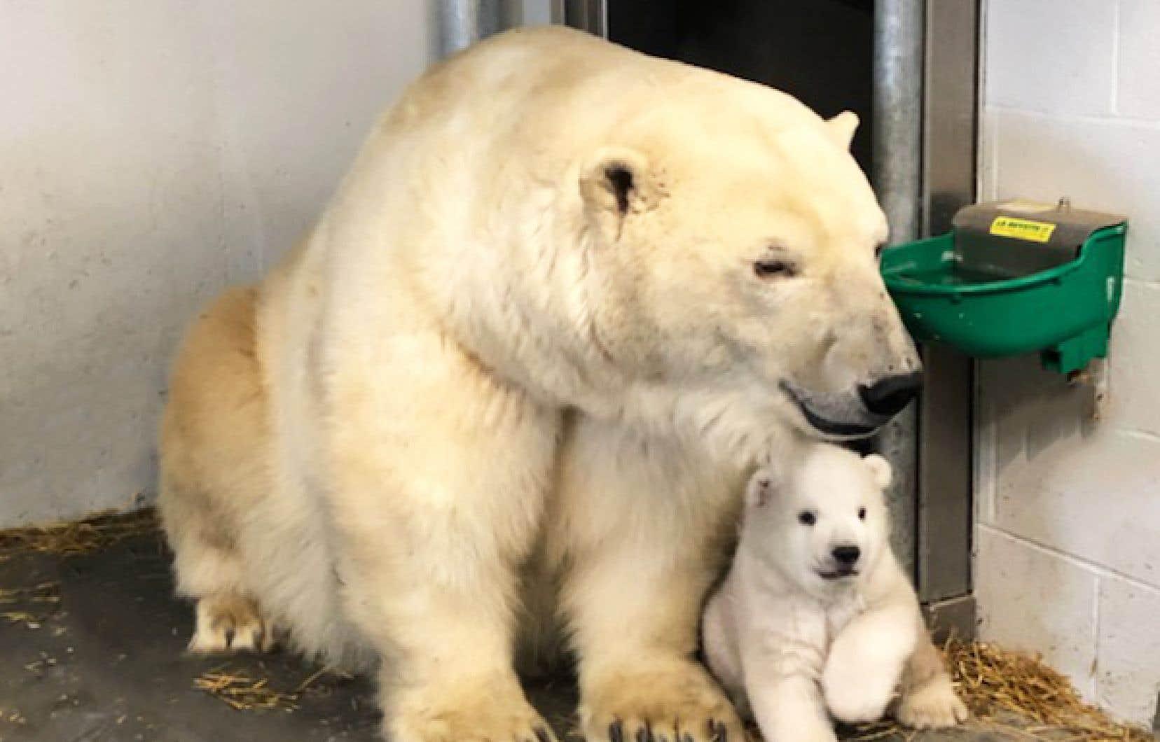 Un des oursons, âgé de 11 semaines, vient de faire ses premiers pas en dehors de la tanière de sa mère Aisaqvak.