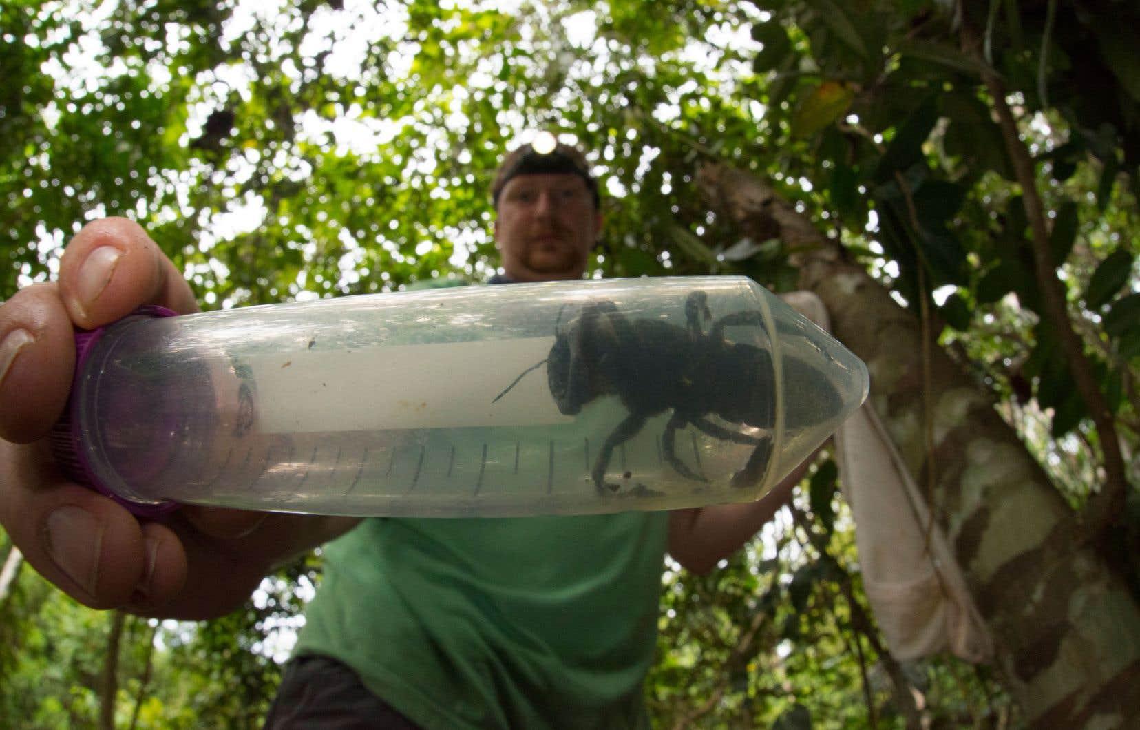 De précédentes expéditions dans la région n'avaient pas permis de repérer cette abeille, ici entre les mains de l'entomologiste Eli Wyman.