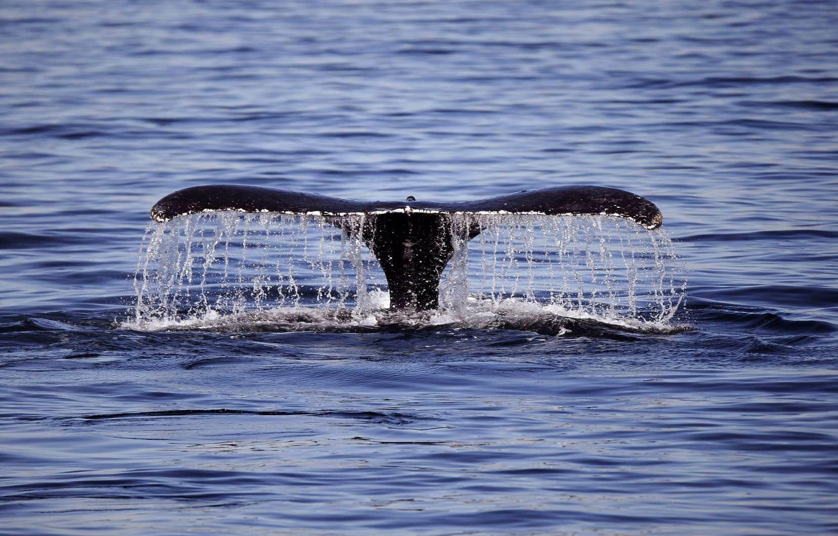 C'est la première fois qu'il est établi que les baleines bleues n'ajustent pas en temps réel leurs migrations en fonction de la nourriture.