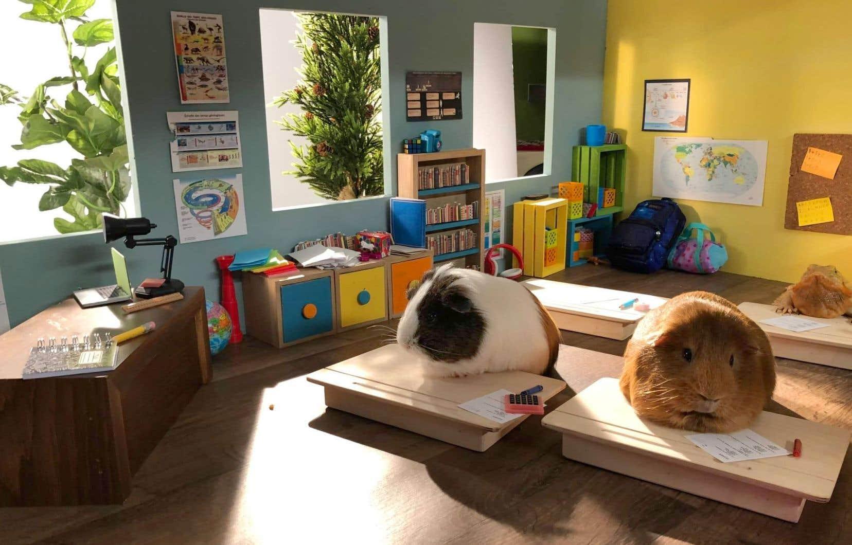 «Cochon Dingue» estl'entrée dans une nouvelle école en plein milieu d'année du sympathique rongeur-vedette, à qui Marc Labrèche prête toujours sa voix.