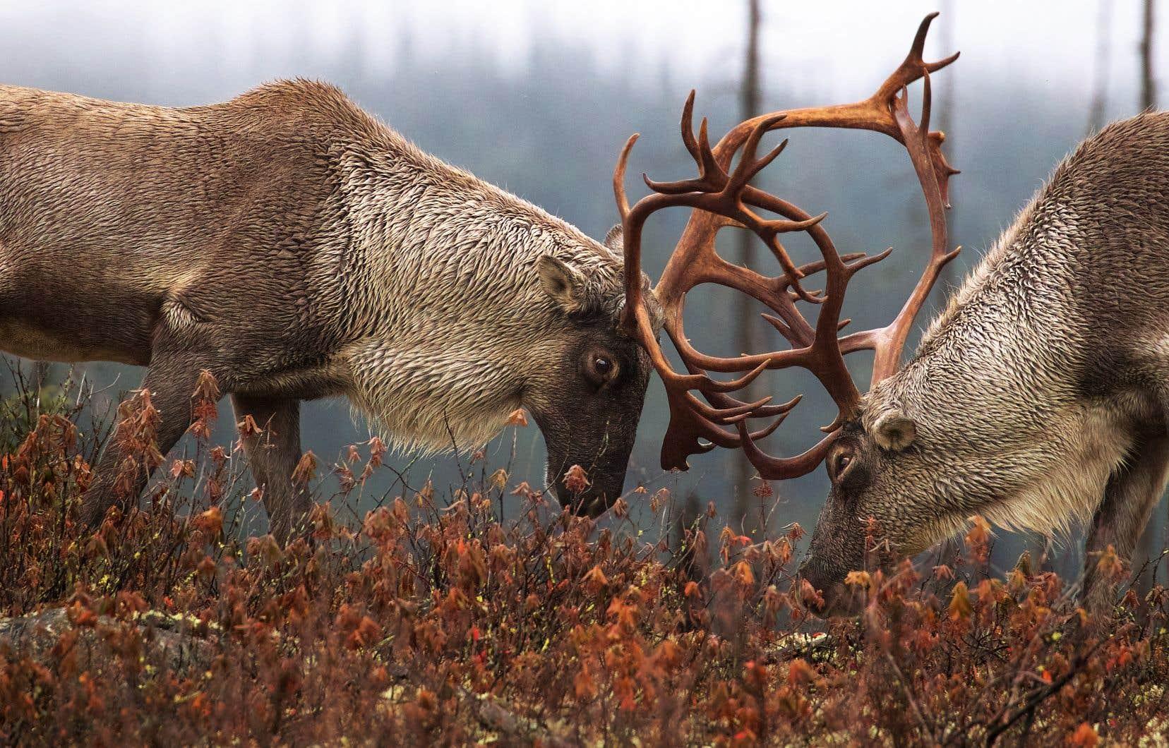 Québec a failli à son devoir de protéger le caribou forestier, selon Ottawa.