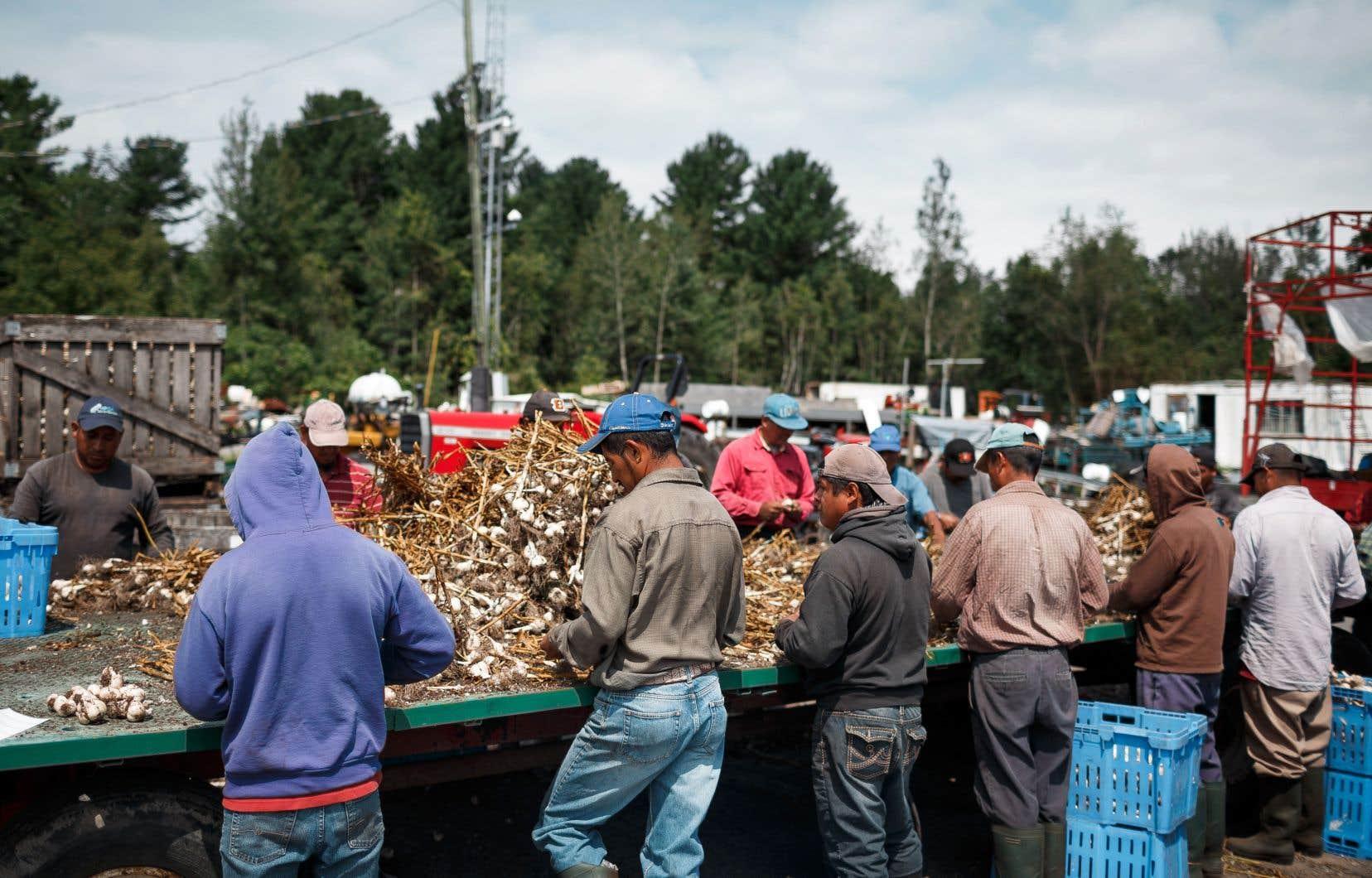 Le Québec accueille environ 13 000 travailleurs temporaires par année, dont une partie est embauchée par des agriculteurs.