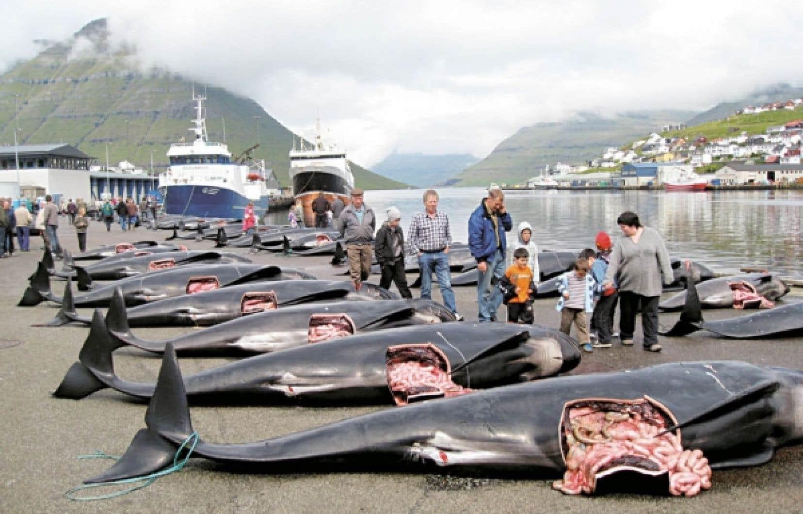 Selon un militant de la Sea Shepherd, un total de 236 baleines pilotes ont été tuées.<br />