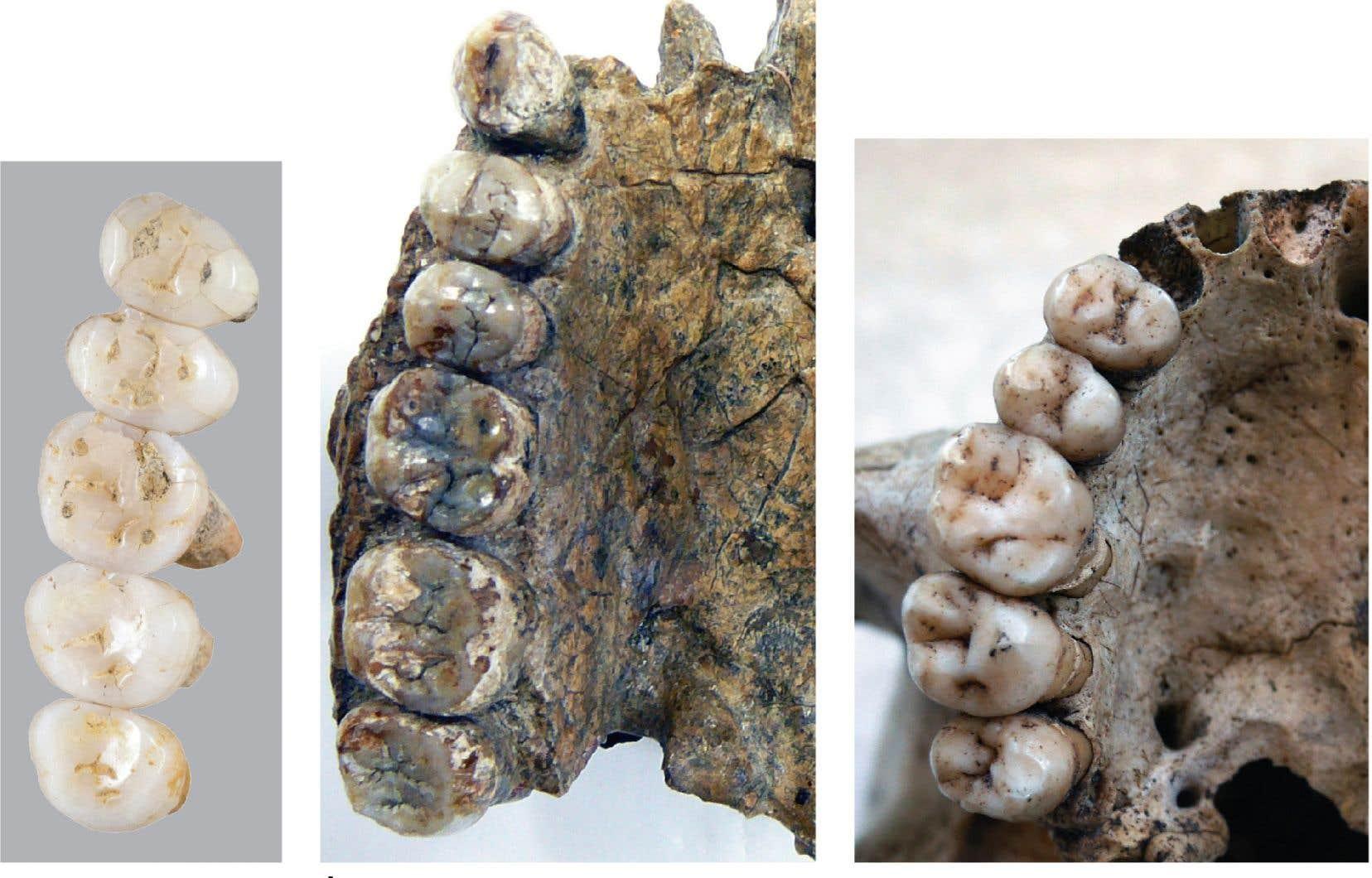 Les prémolaires d'«Homo luzonensis» présentent des ressemblances avec celles des Australopithèques et d'autres espèces anciennes du genre «Homo», comme «Homo habilis» et «Homo erectus».