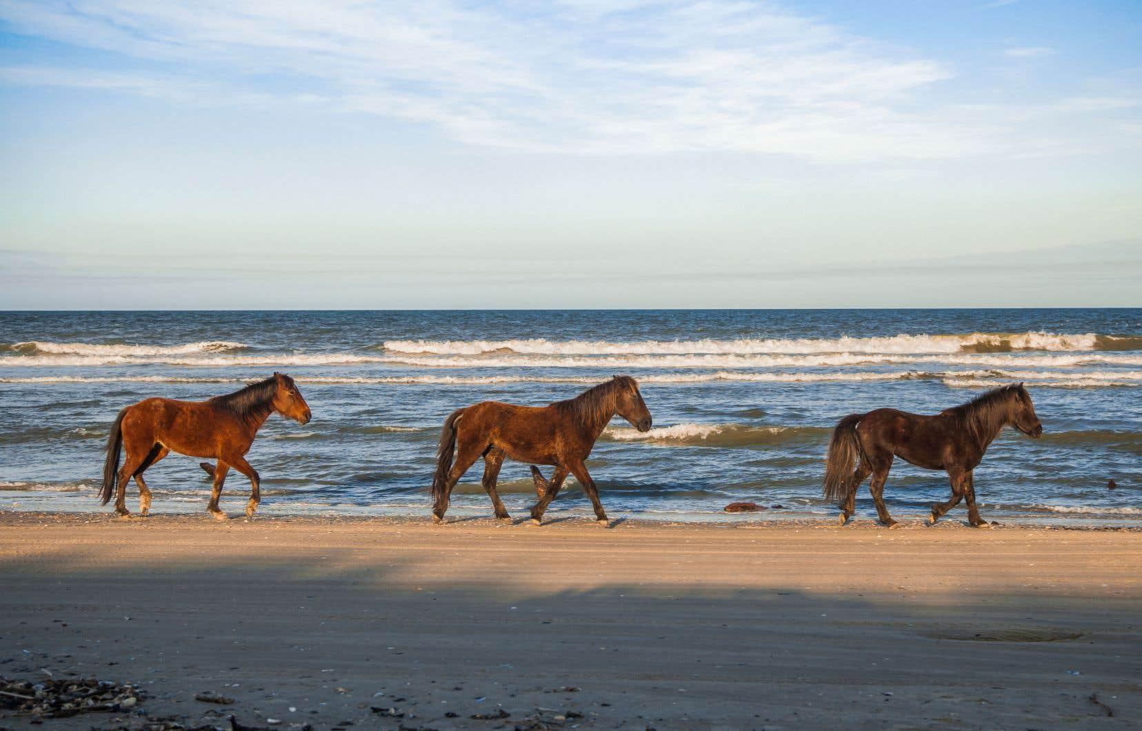 Des chevaux sauvages sur la plage de Corolla