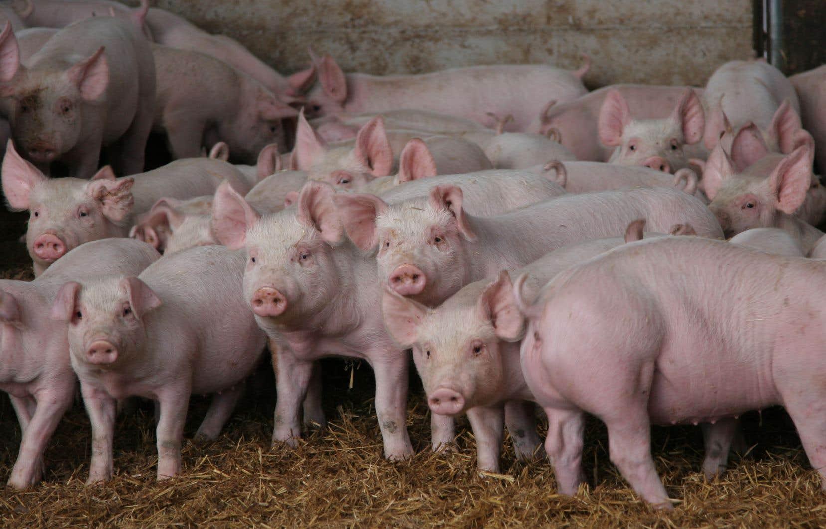 Les chercheurs ont branché des cerveaux de porcs abattuspour leur viande. L'expérience d'une durée de six heures a été répétée avec trente-deux cerveaux.