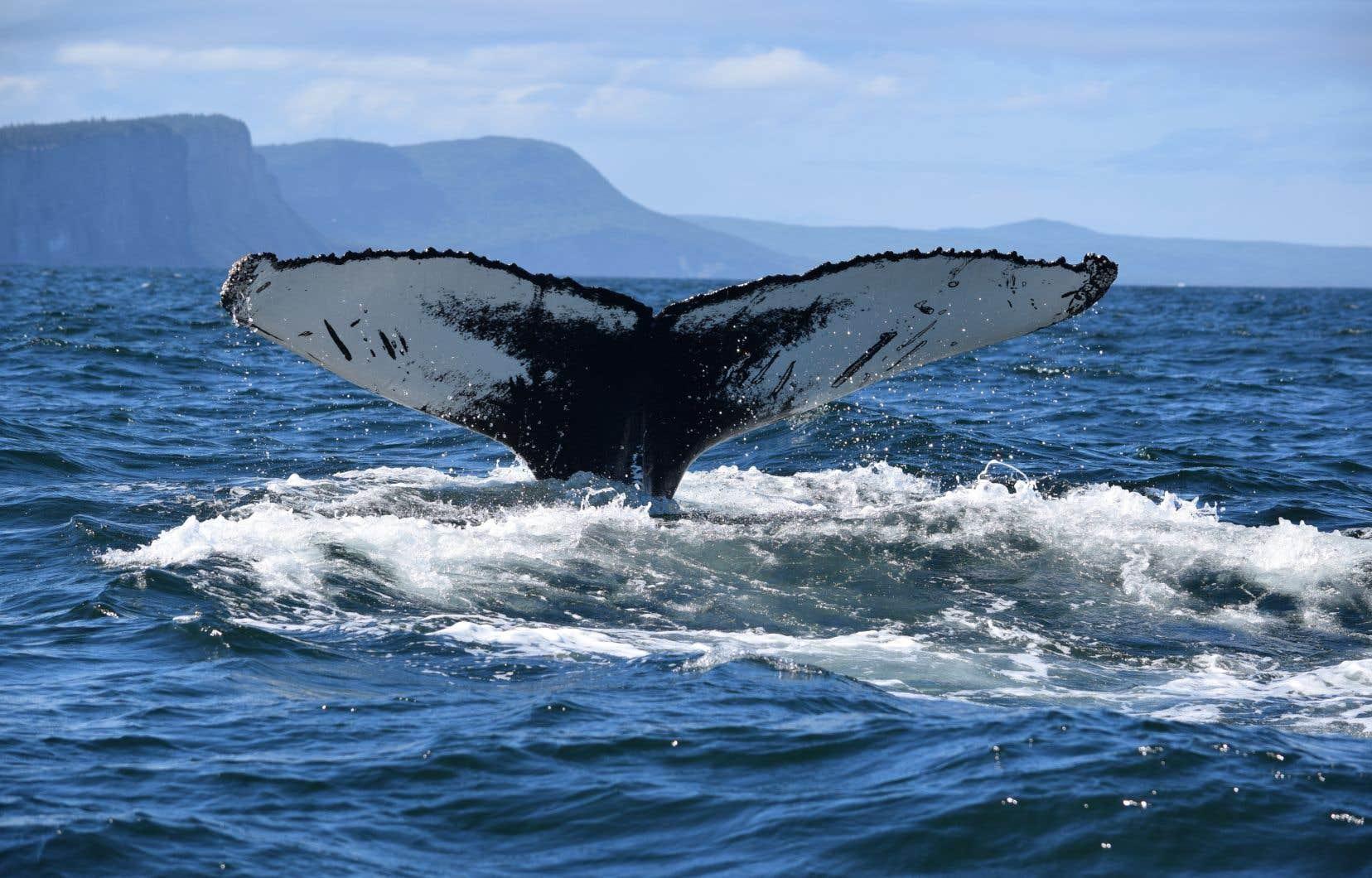 Le fédéral a décrété jeudi une zone protégée au sud de Terre-Neuve reconnue comme un couloir migratoire pour plusieurs espèces, dont la baleine à bosse.