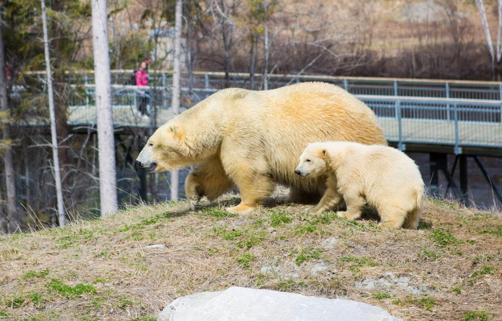 Le Zoo sauvage de Saint-Félicien fait partie d'un réseau d'établissements qui souhaitent préserver le meilleur bagage génétique possible d'ours polaires.
