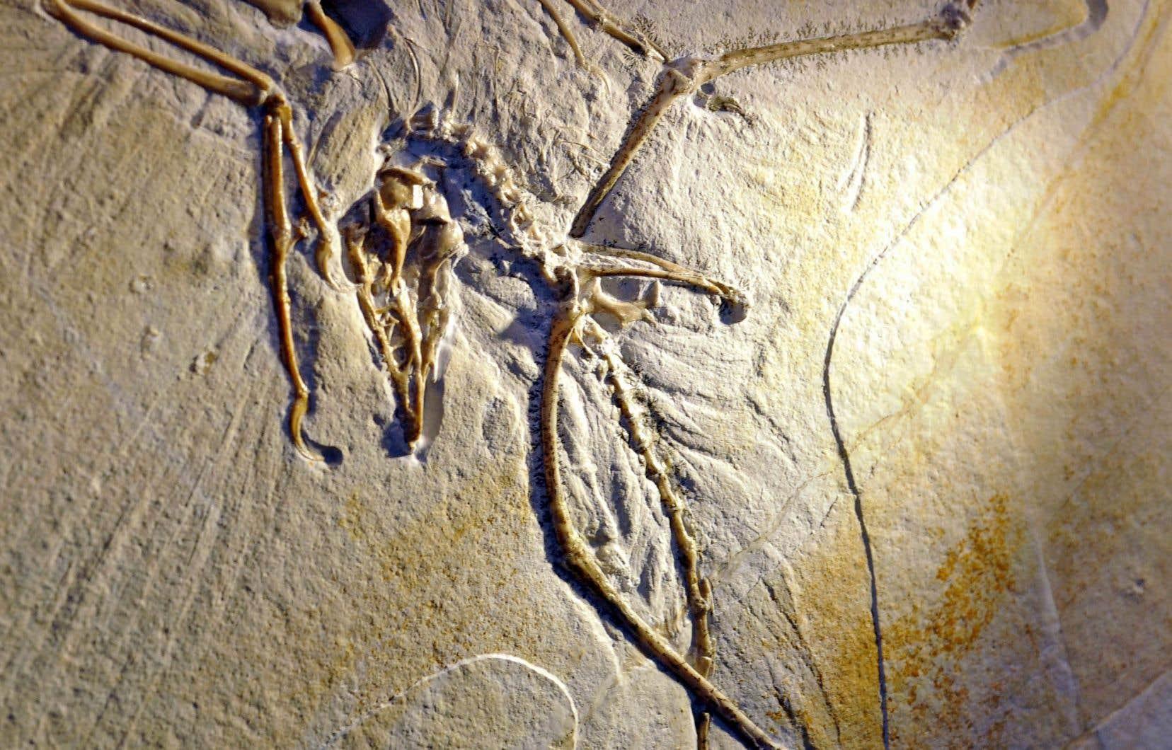 L'Archéoptéryx était un petit dinosaure à plumes de la taille d'un corbeau, qui vivait il y a environ 150millions d'années.