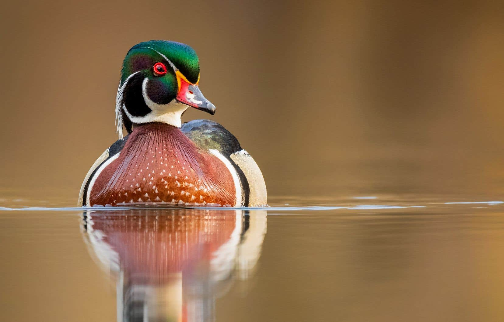 Les données recueillies pendant les travaux pour la rédaction de l'atlas indiquent que le canard branchu (mâle, sur la photo) se porte bien, malgré un recul des milieux humides au Québec.