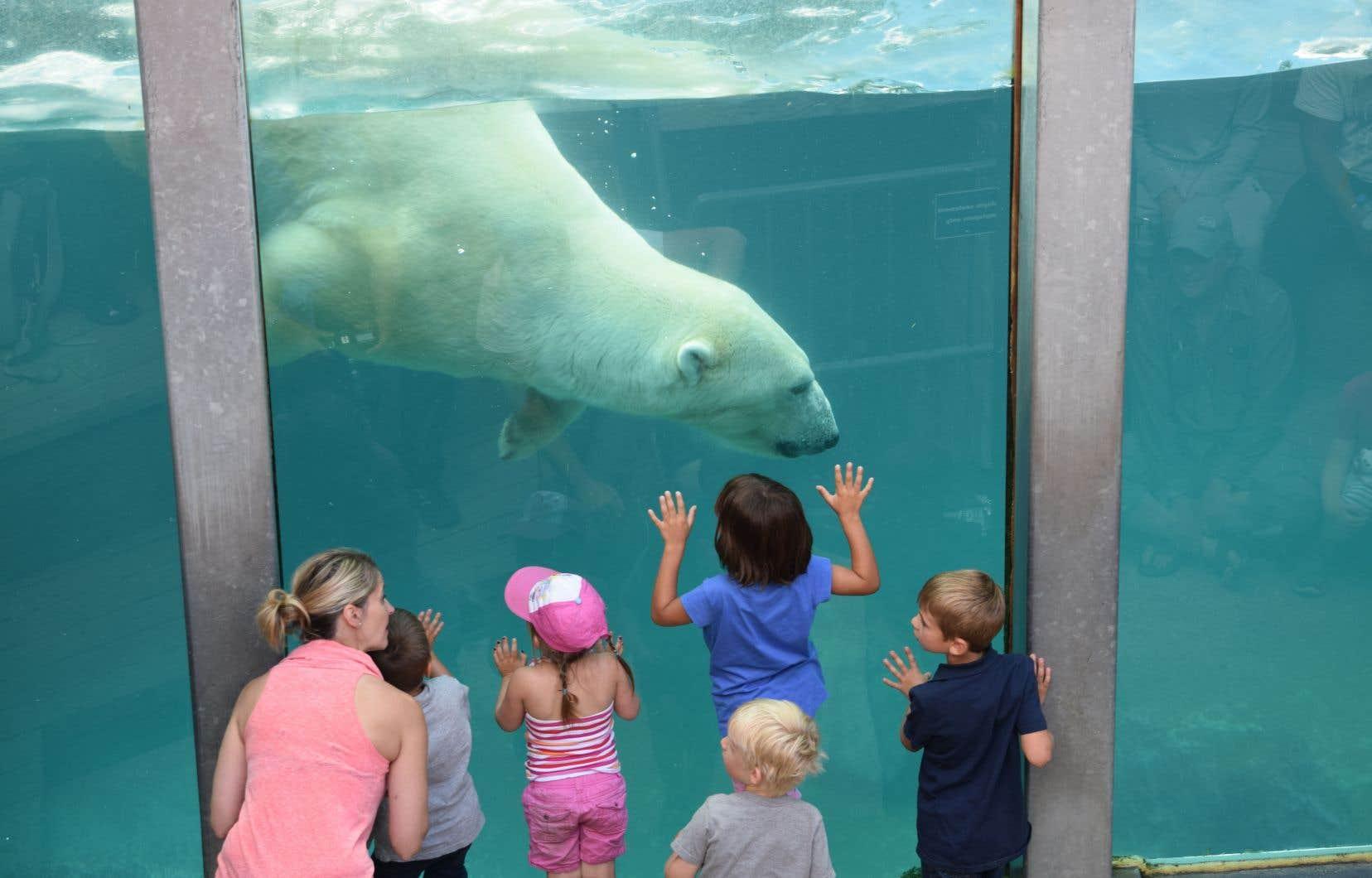 Un ours blanc au zoo de Saint-Félicien. Les jardins zoologiques permettent aux gens d'être en contact avec les animaux.