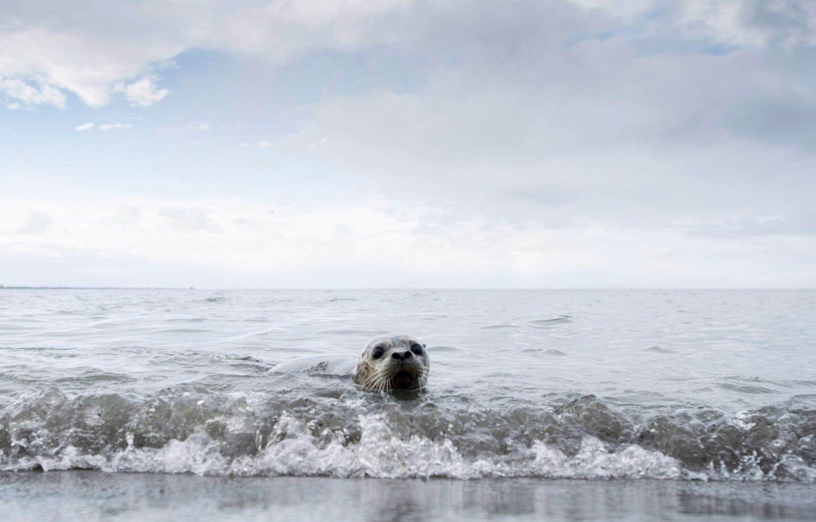 Des bébés phoques sont relâchés dans l'océan depuis la plage d'Iona à Richmond, en Colombie-Britannique, le mardi 18 décembre 2018.