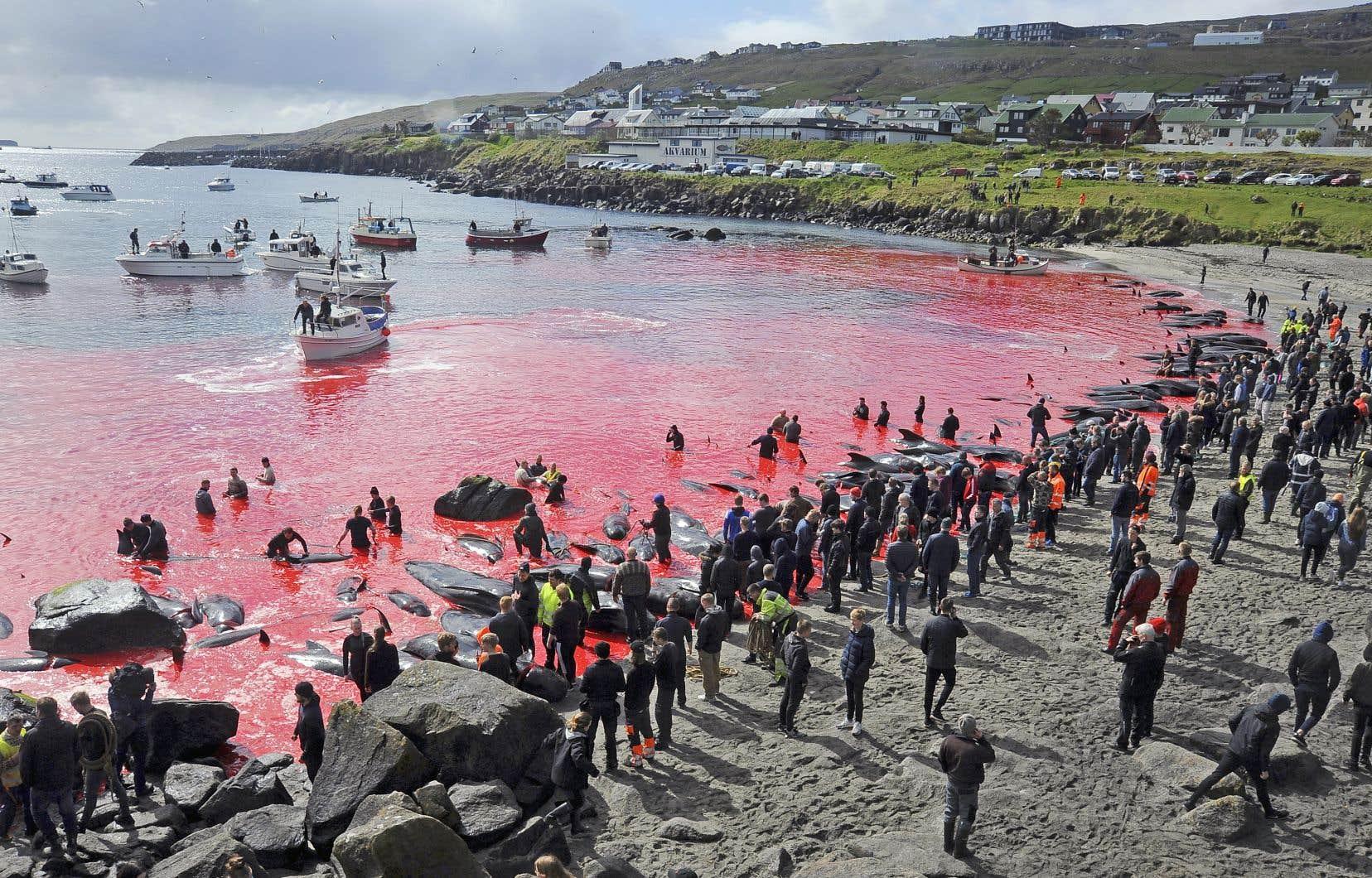 Les Féroïens utilisent leurs bateaux de pêche pour effaroucher et rabattre des troupeaux de globicéphales, mais aussi d'autres espèces de dauphins, vers une baie, où ils sont mis à mort.