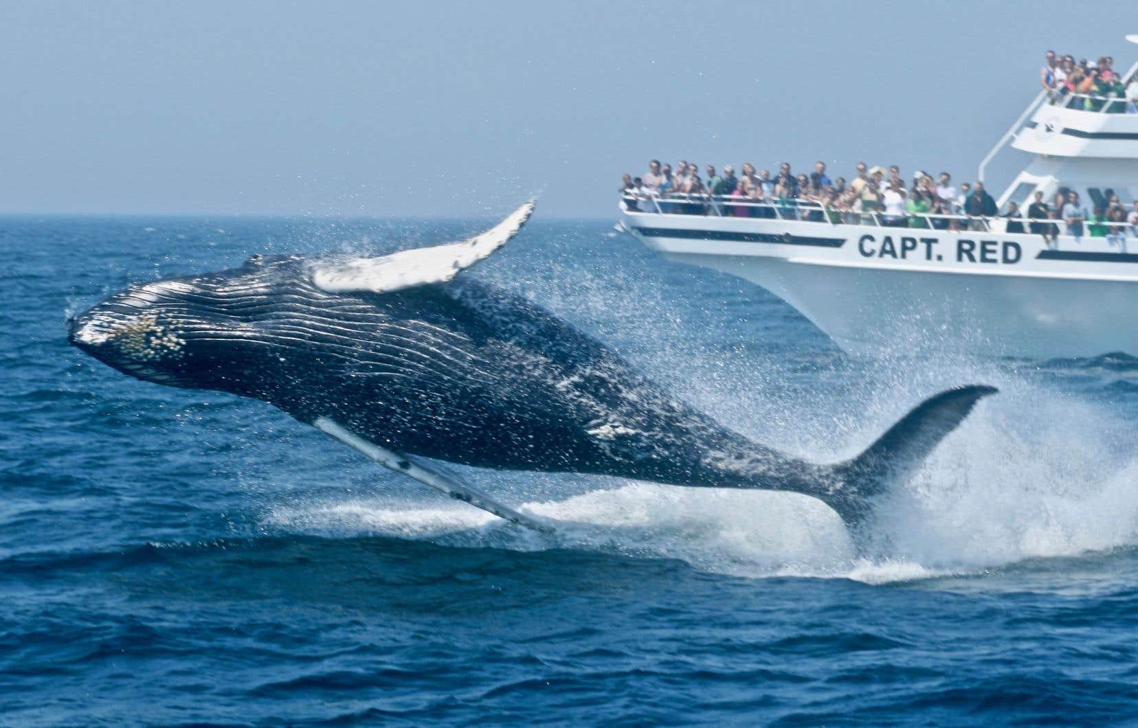 Les excursions d'observation de baleines, comme celle que propose Dolphin Fleet, à Provincetown, font partie des 40 activités qui jalonnent la Whale Trail, au Massachusetts.