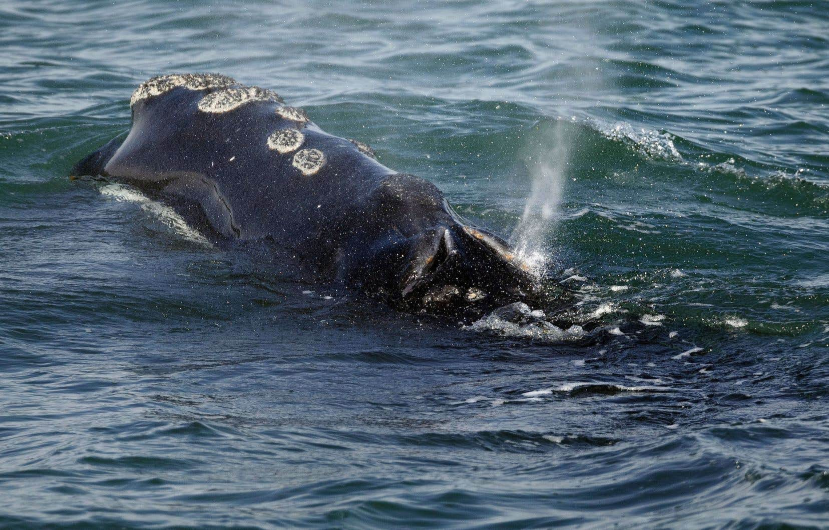 Il reste environ 400 baleines noires de l'Atlantique Nord, les décès dépassant les naissances vivantes.