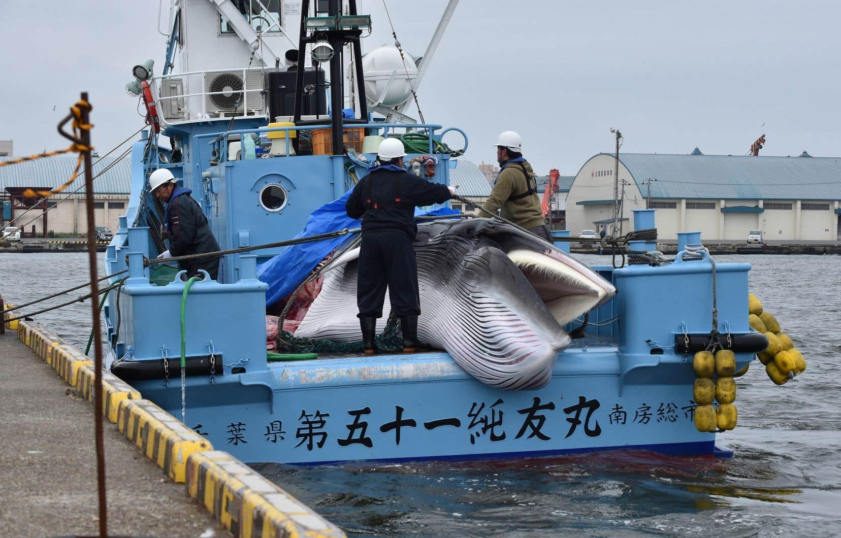 Une baleine de Minke tuée par des pêcheurs japonais, lundi
