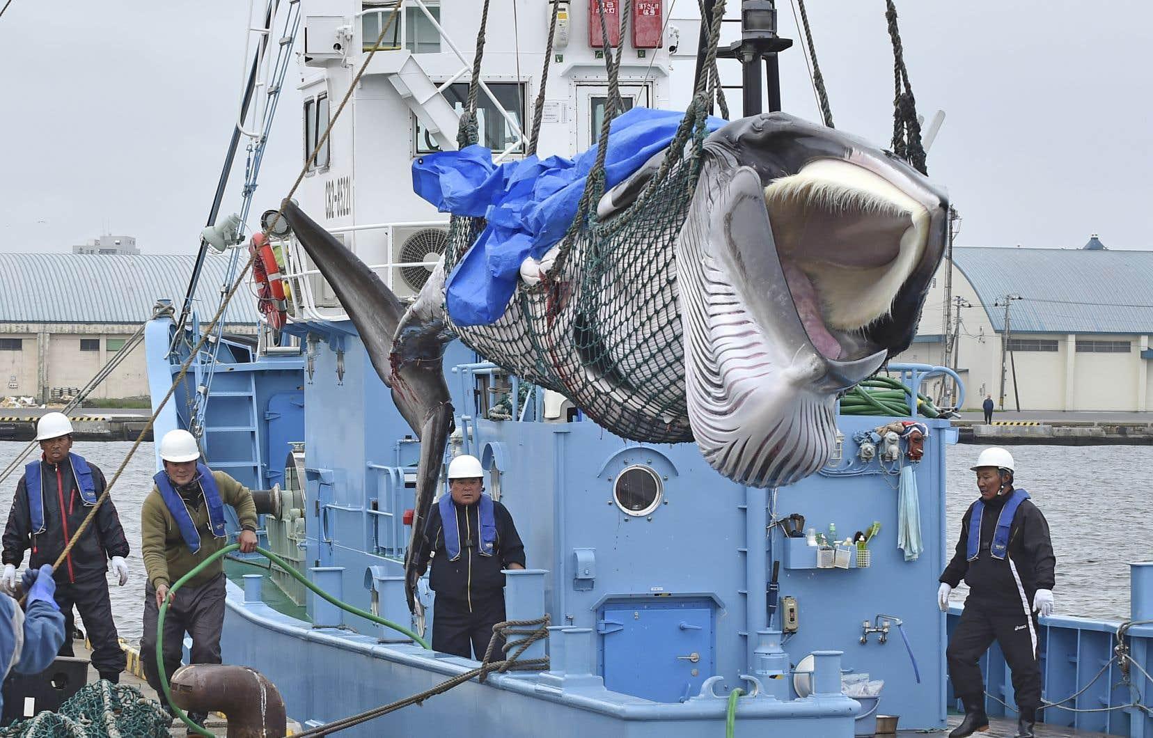 Des navires japonais ont harponné lundi deux baleines de Minke, les deux premières d'un quota de 227 mammifères pouvant être chassés d'ici décembre dans les eaux territoriales japonaises.